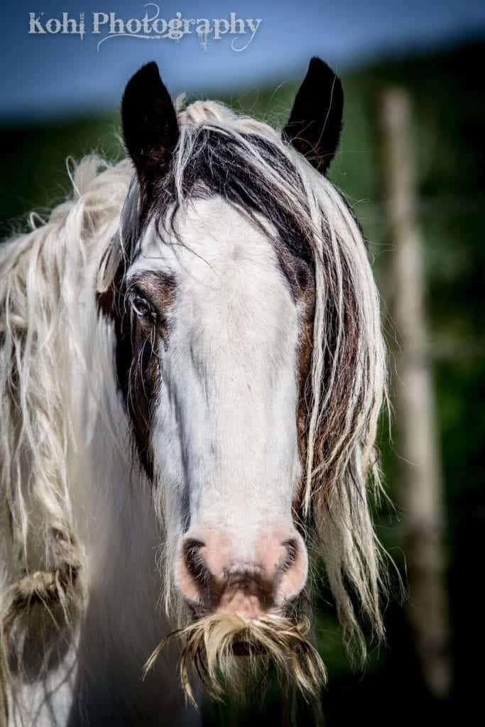 a mare by Parrett Mountain Gypsies