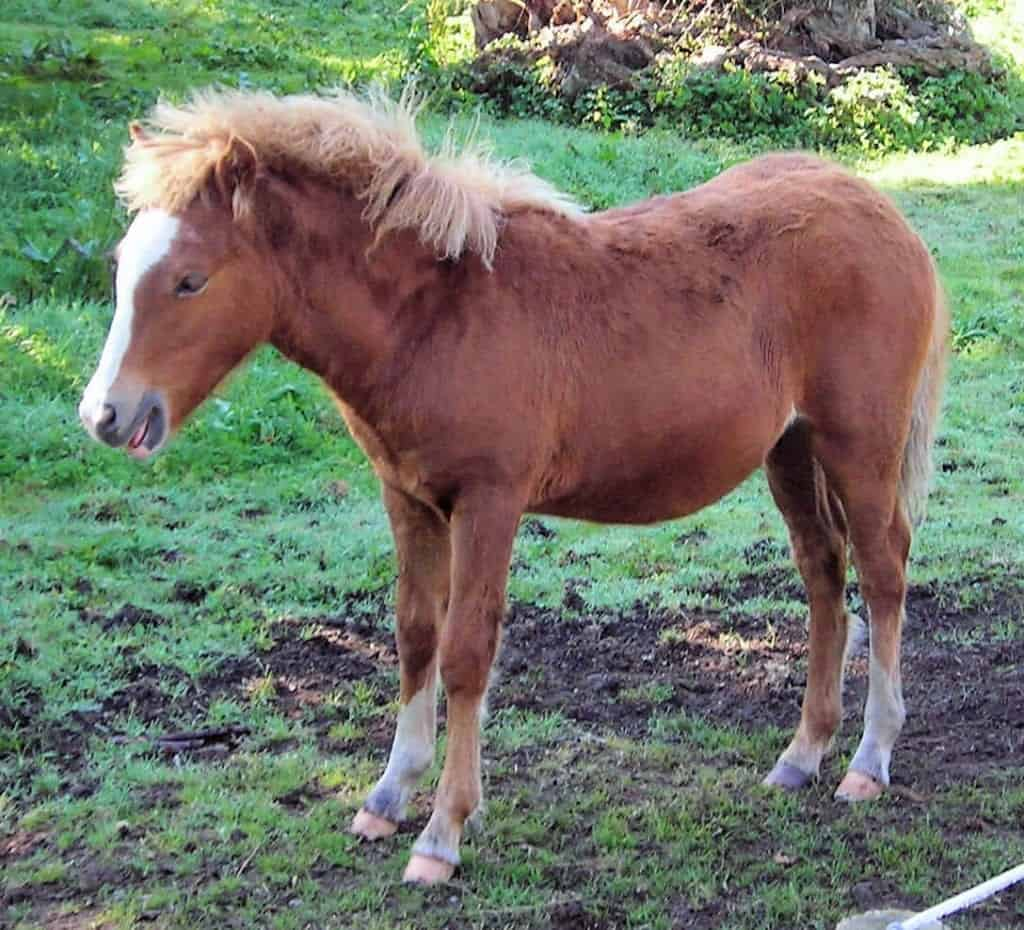 A Kerry Bog Pony that some say is the same as an Irish Hobby. Image Source:Jim Linwood - wikimedia