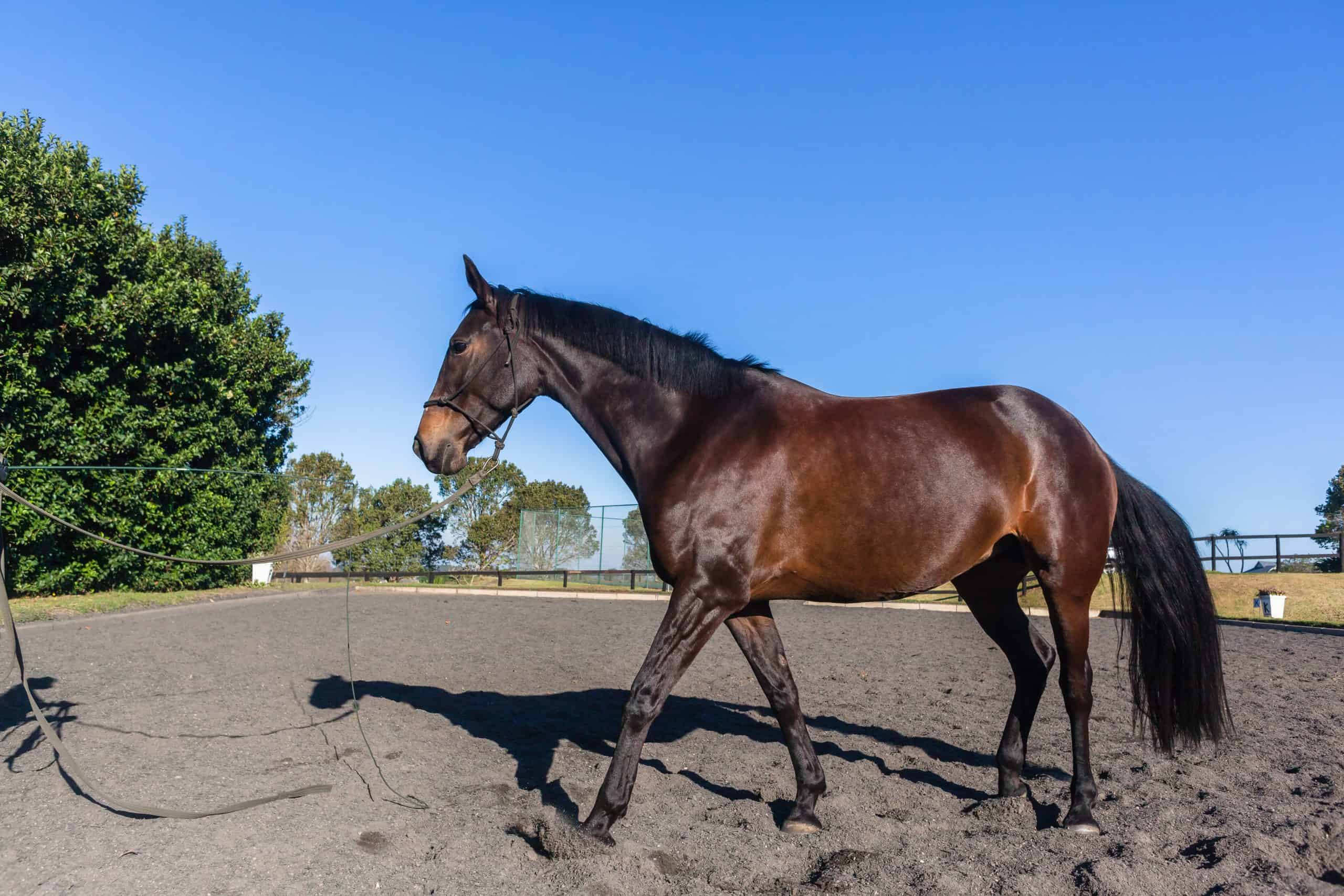 Horse equestrian animal close up exercising sand arena outdoors afternoon blue sky