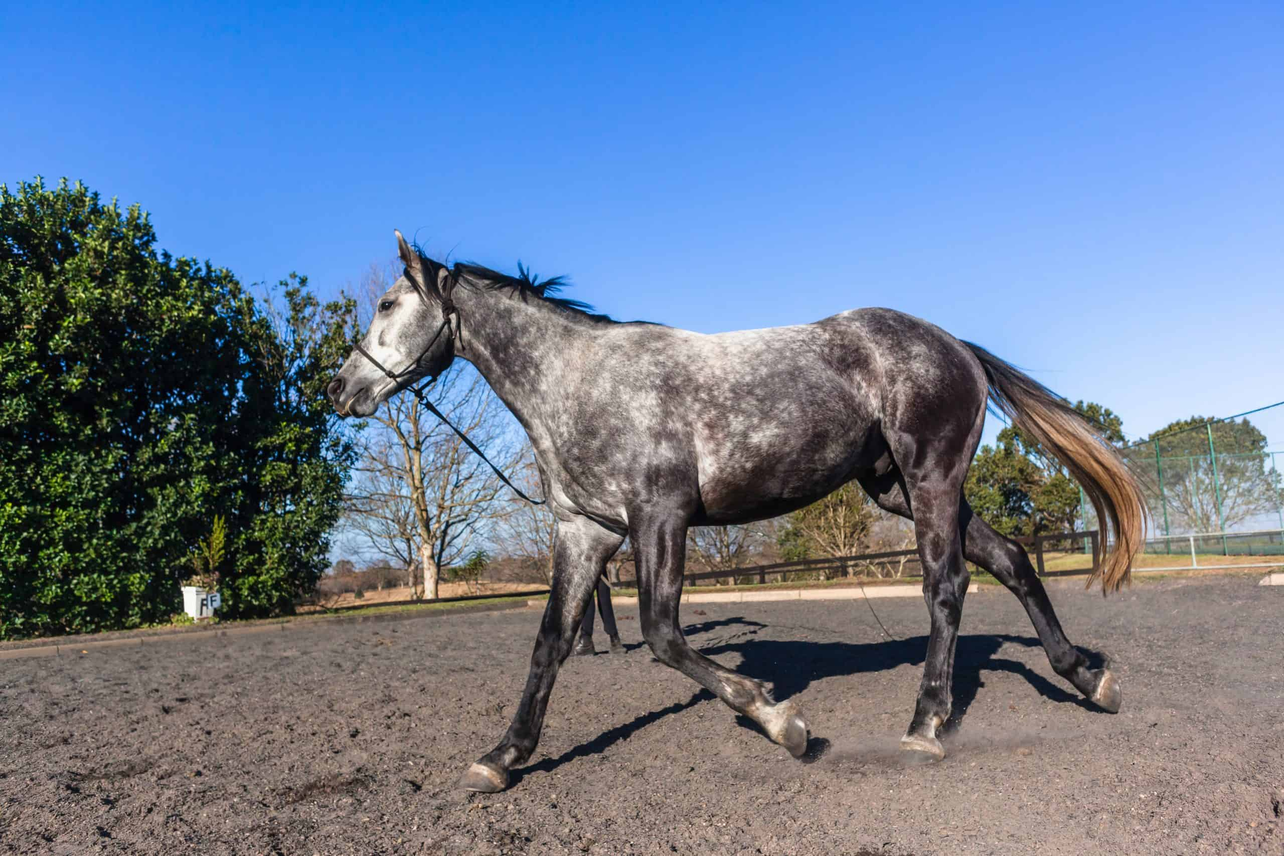 Horse gray animal exercising outdoors in sand arena afternoon blue sky.