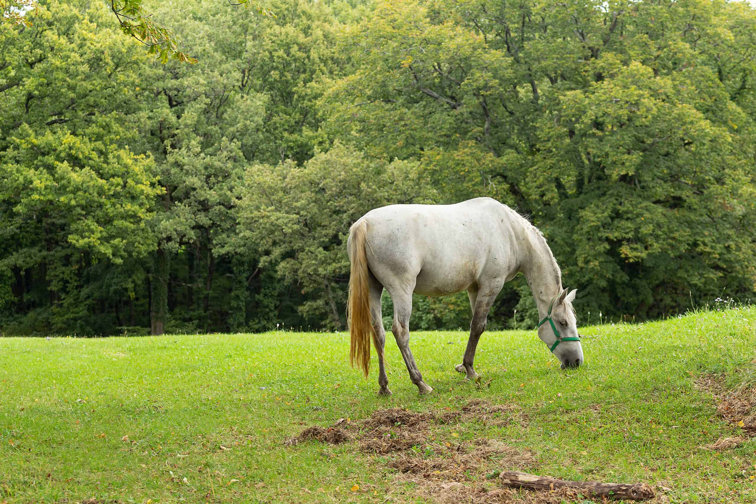 horse, Lipica, Slovenia