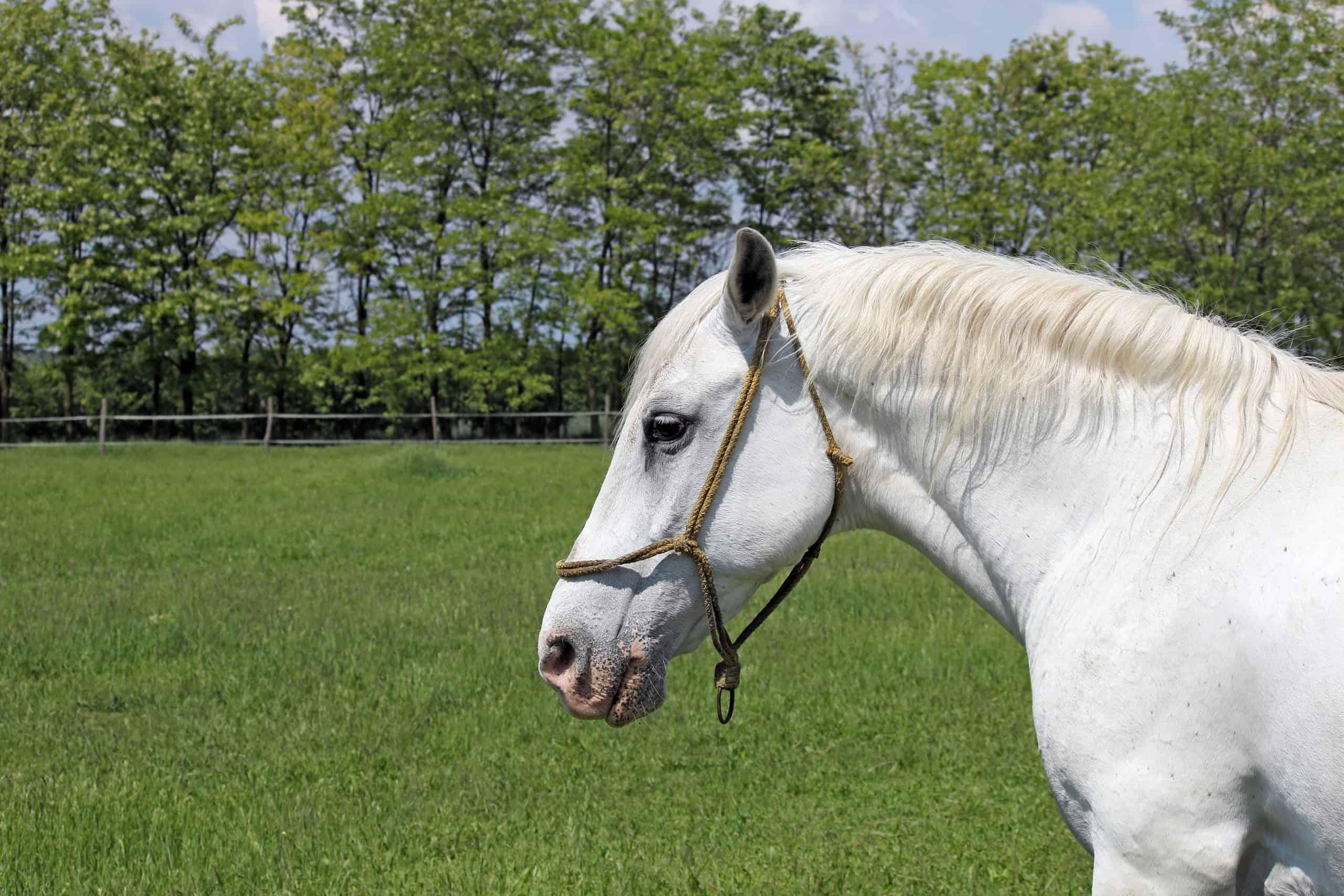 Lipizzaner horse on green field portrait
