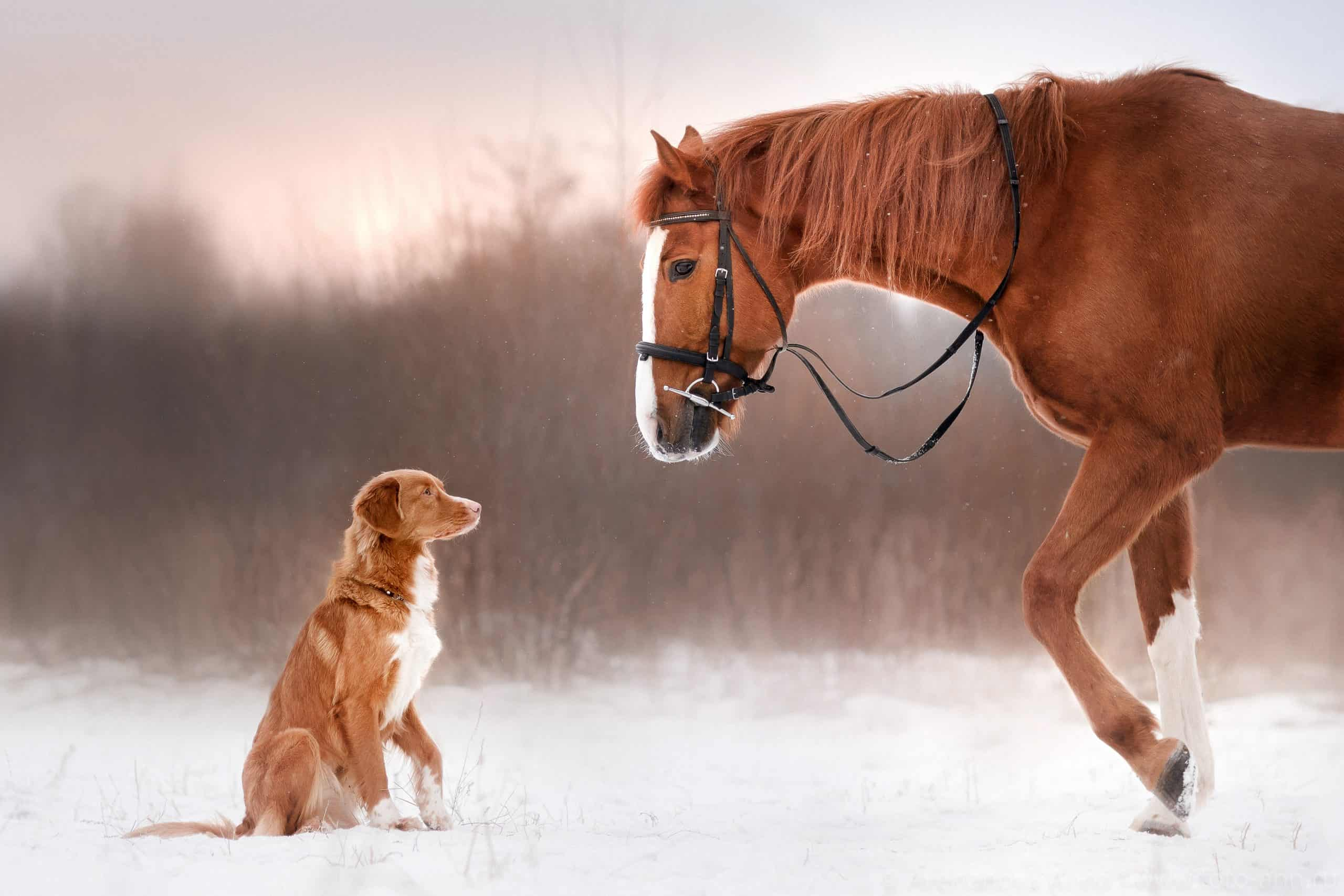 Nova Scotia Duck Tolling Retriever Dog and horse in the winter on the nature