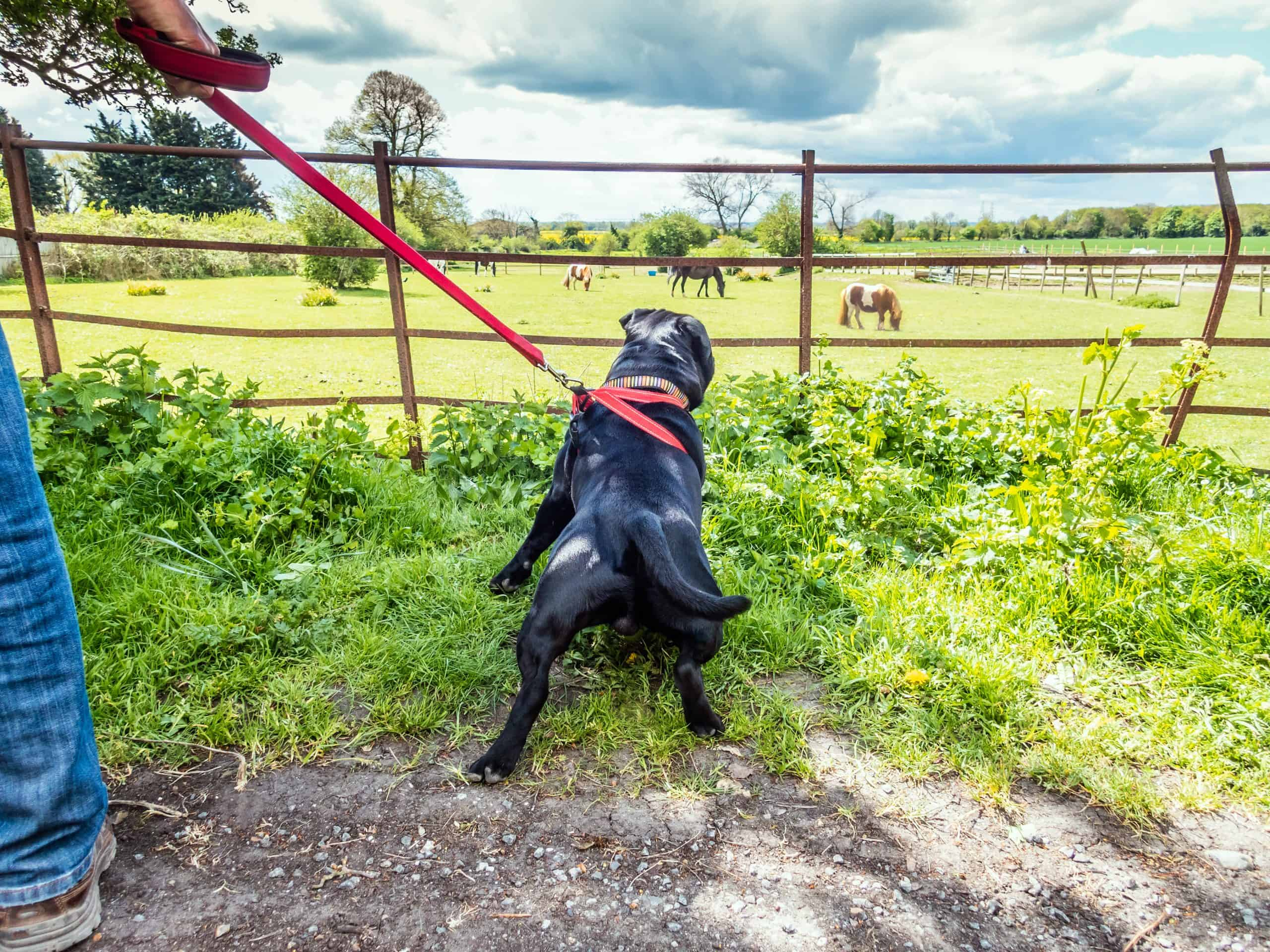 Strong young staffordshire bull terrier dog pulling on a red harness and lead looking in a field through a rusy metal fence . The field has horses and a shetland pony in it.