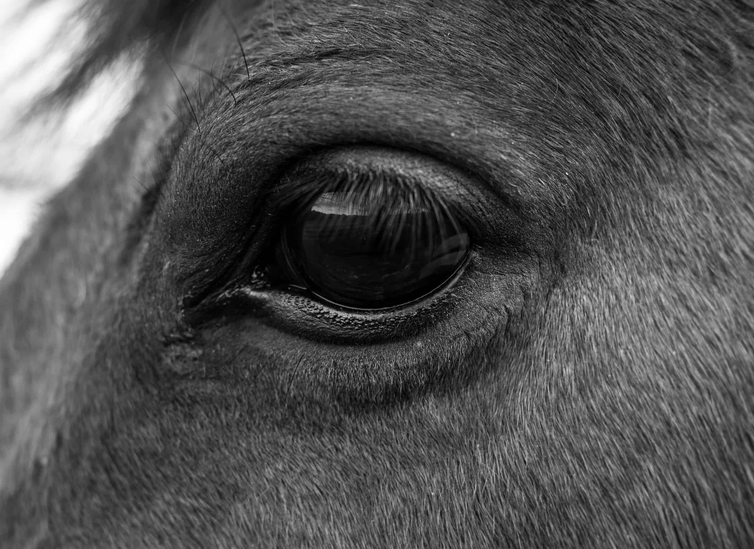 Black and white close up of horses eye