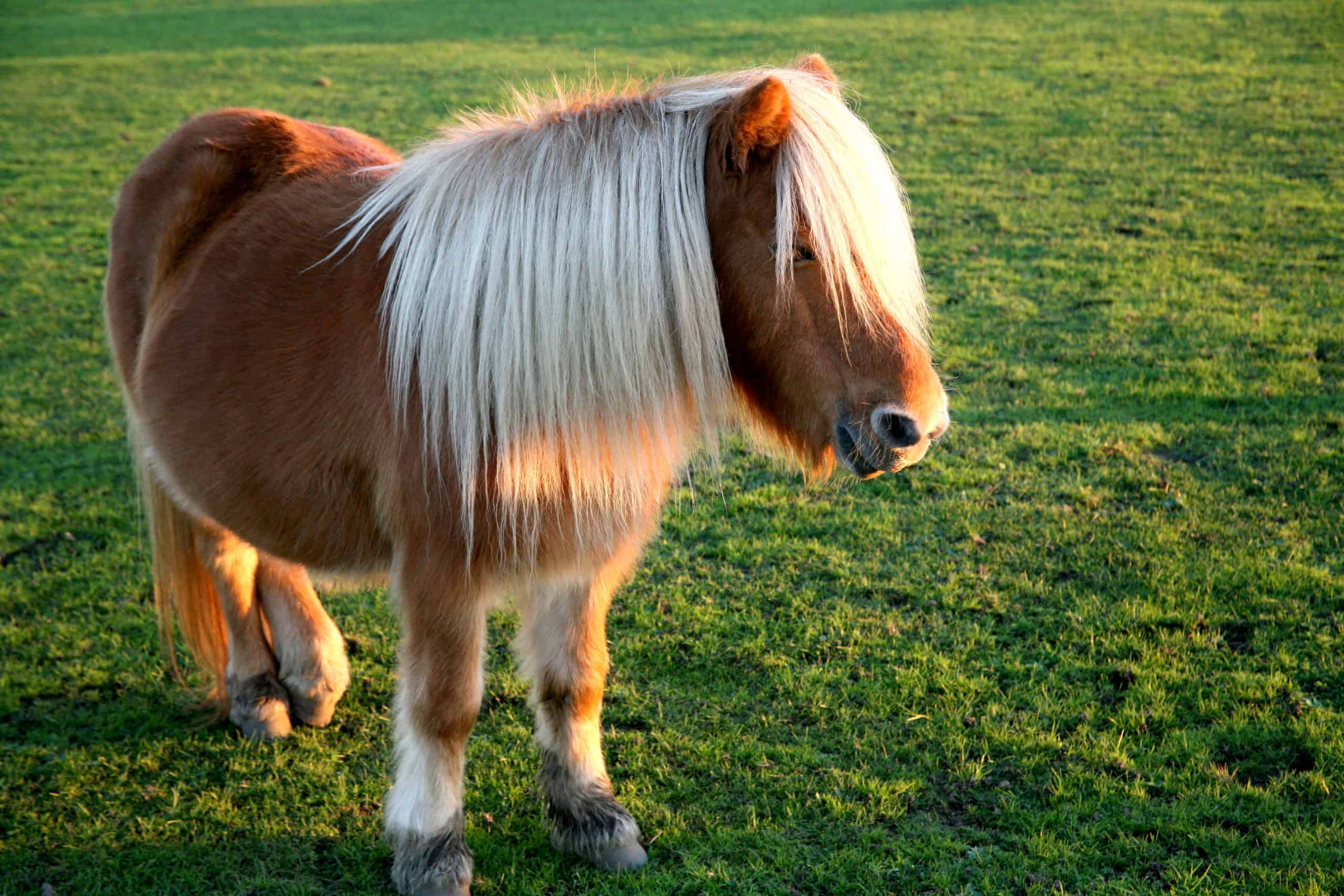 A brown shetland pony with white forelocks and a long white mane backlit by the evening sun on moorland of the New Forest, Hampshire, UK