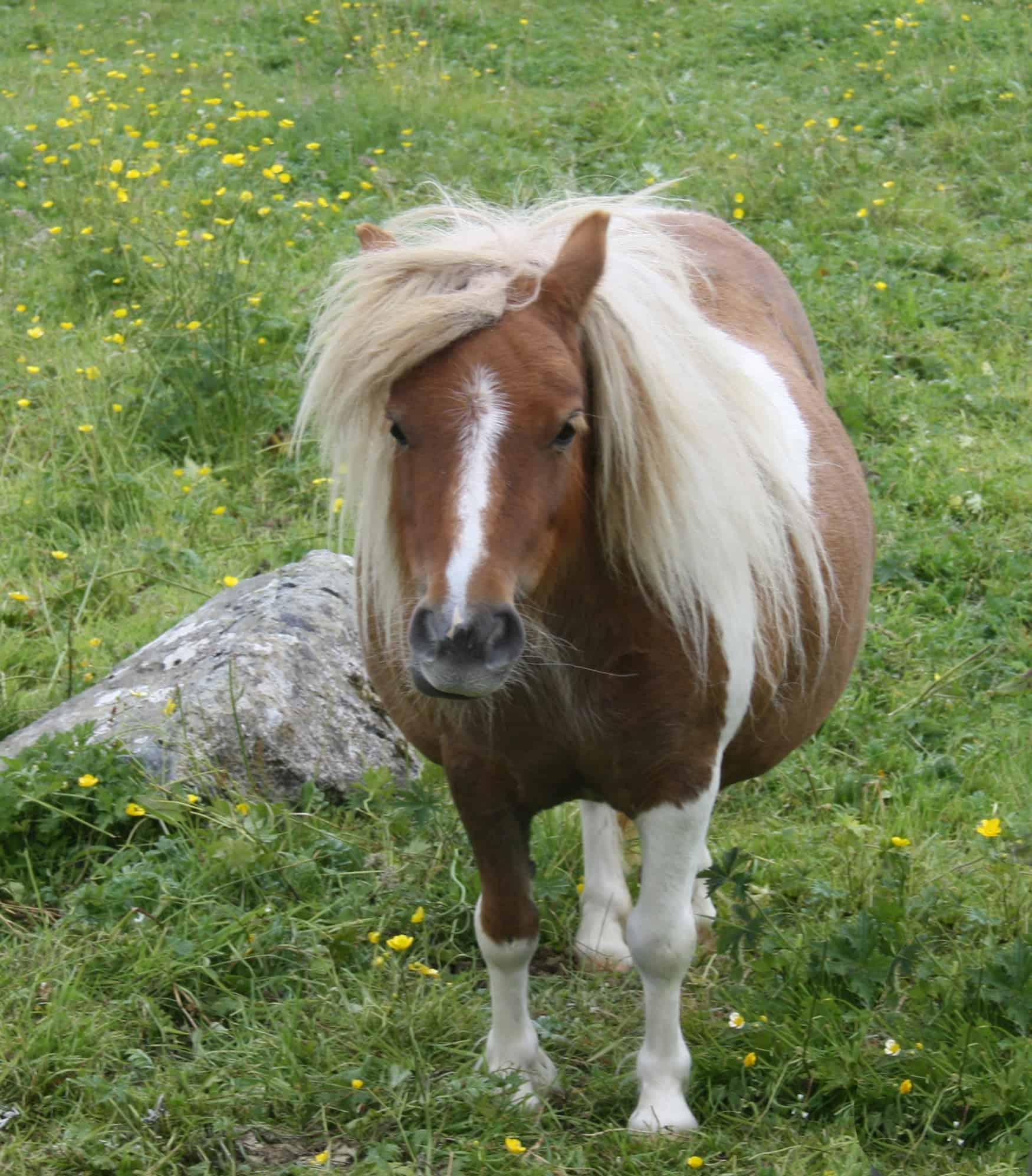 Shetland Pony in a meadow