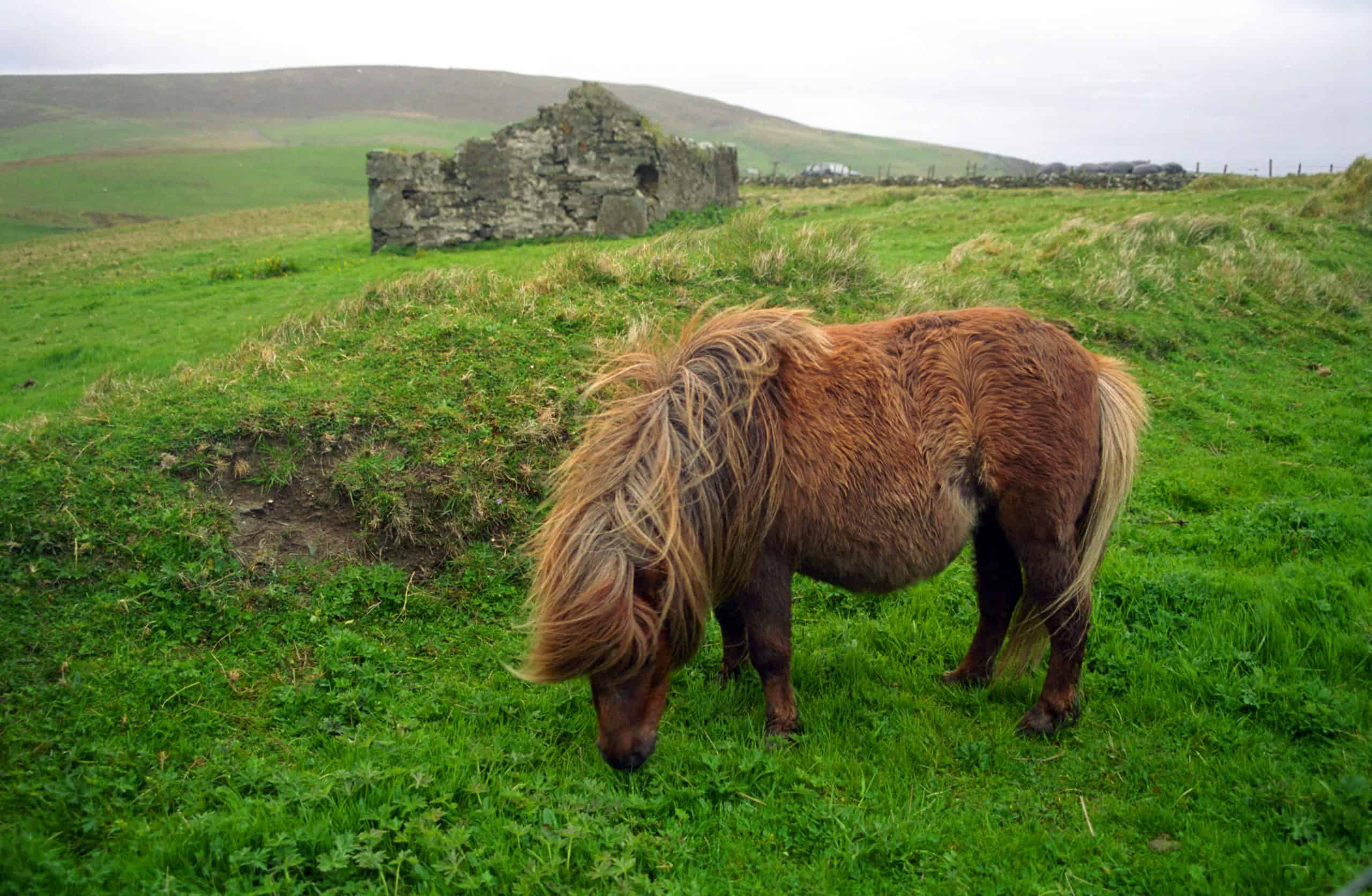 Shetland pony is a speceila species of pony horses, endemic to the Shetland Islands.