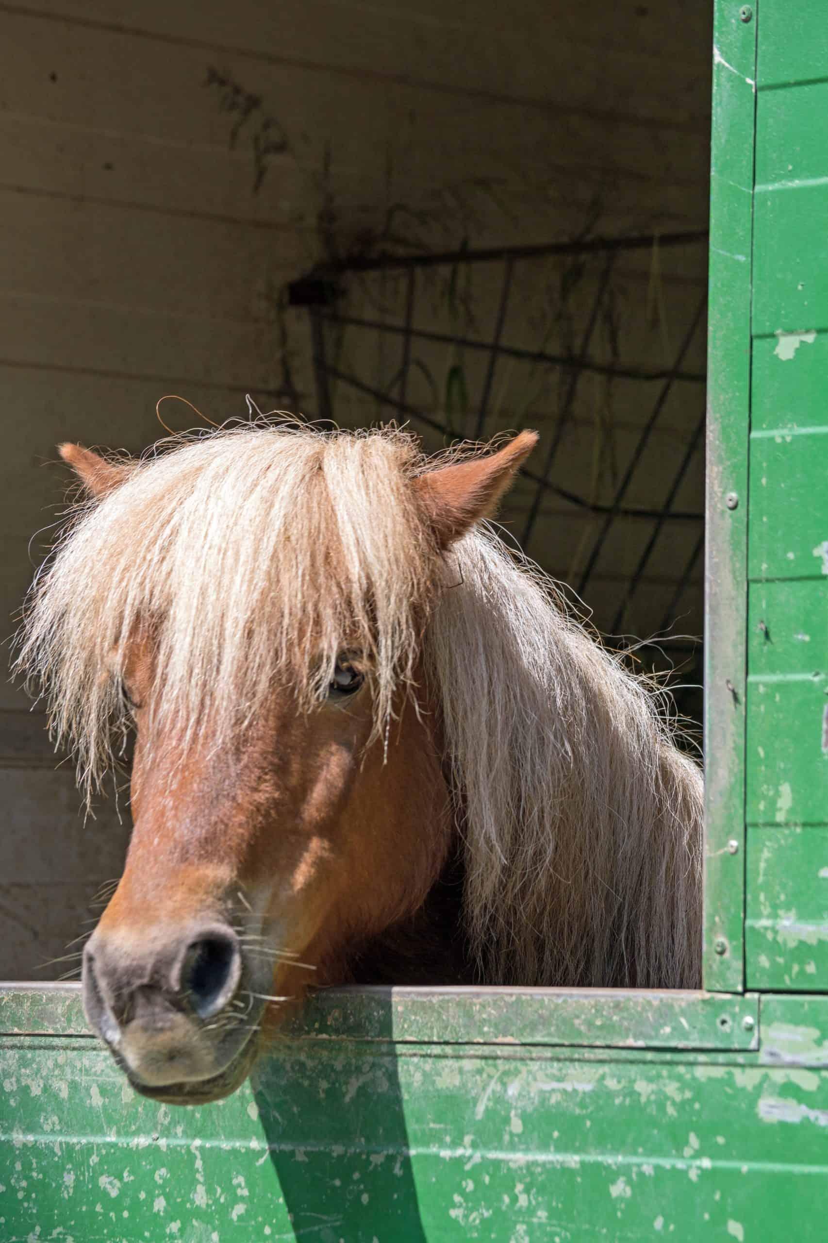 Shetland pony (Equus przewalski caballus)