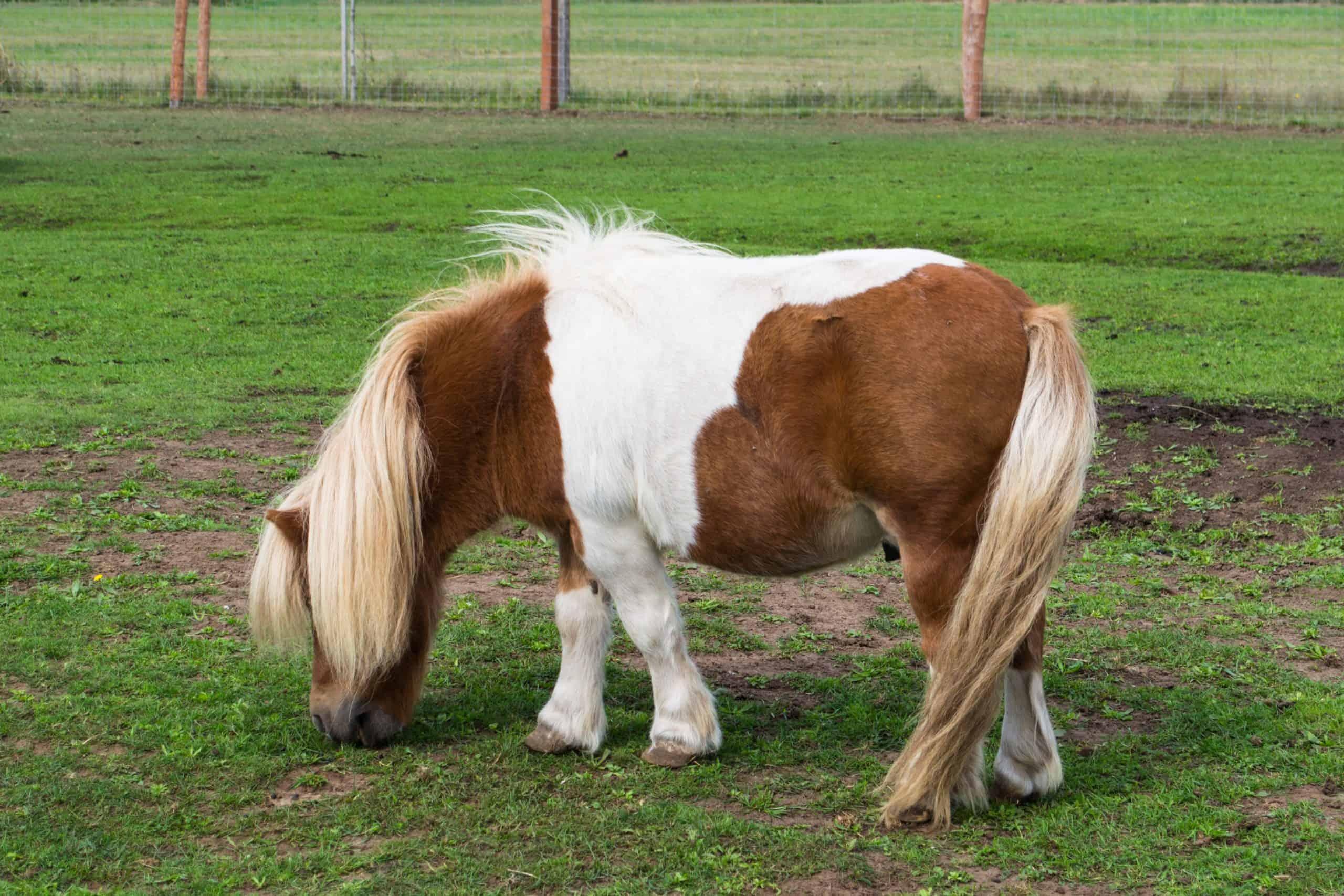 Shetland pony - race horses belonging to pony