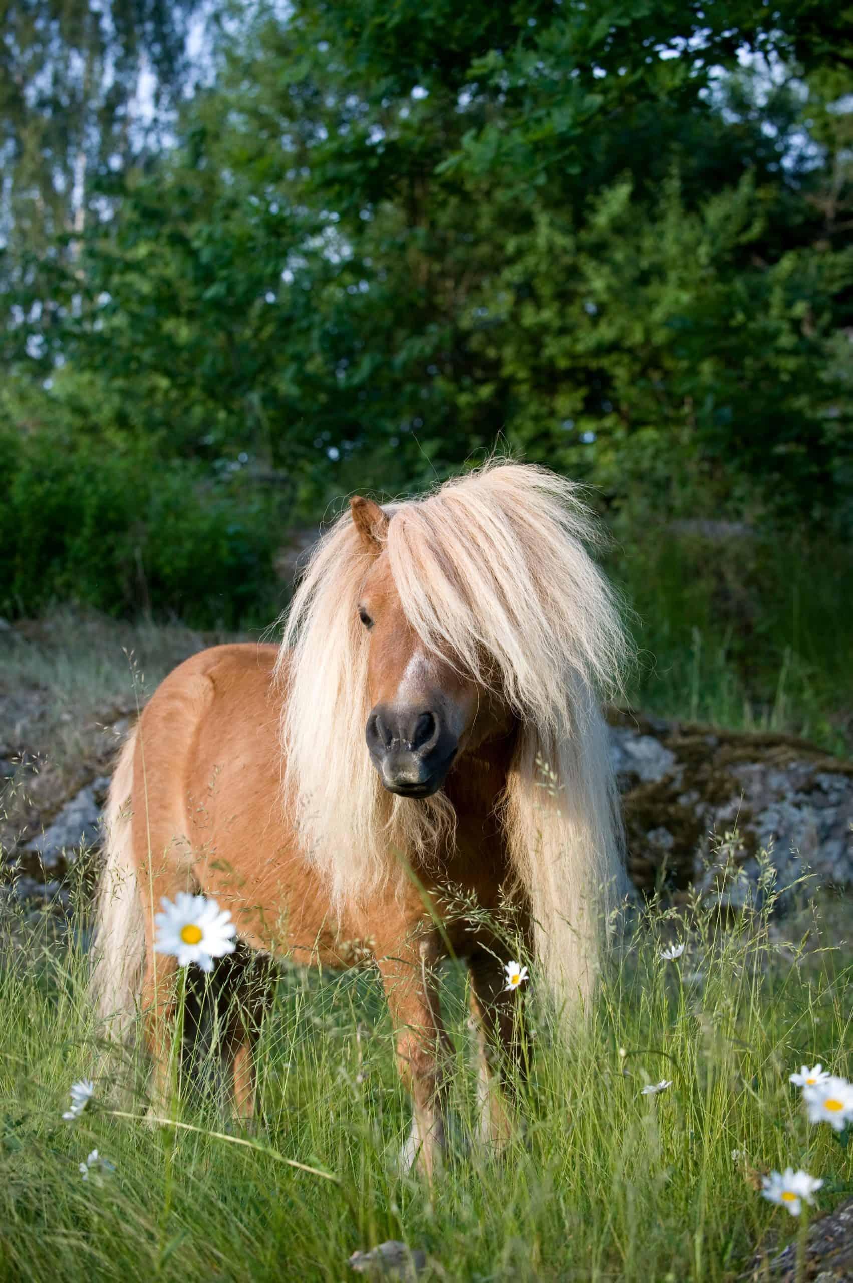 A Shetland pony in a summer field.