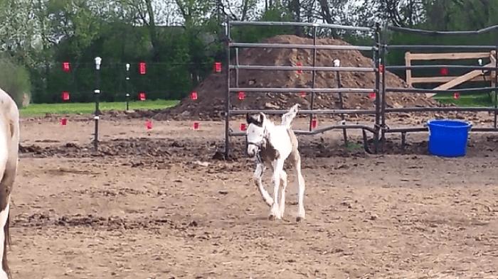 foalrunning1
