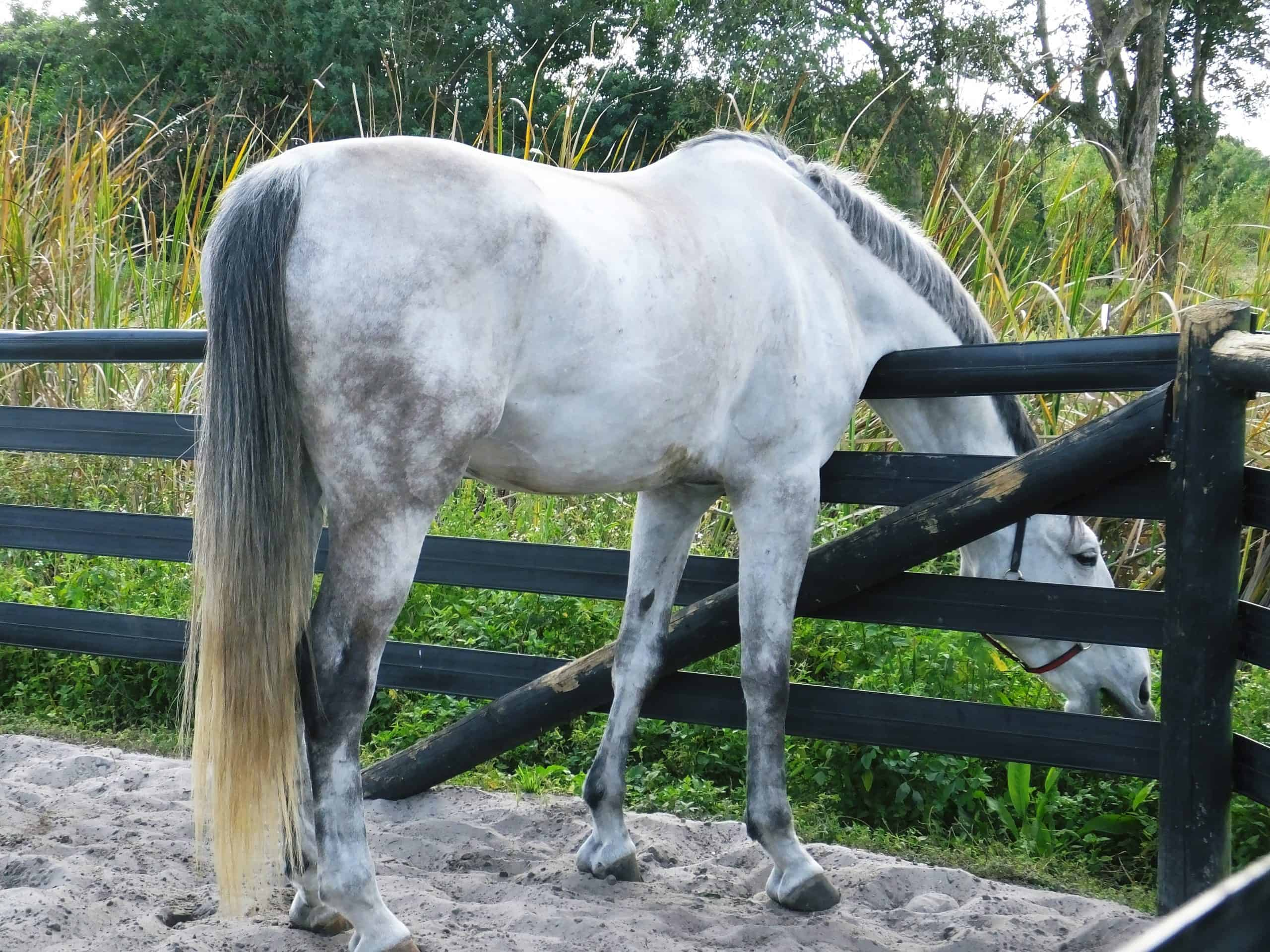 Grey colored horse in its turnout eating grass.