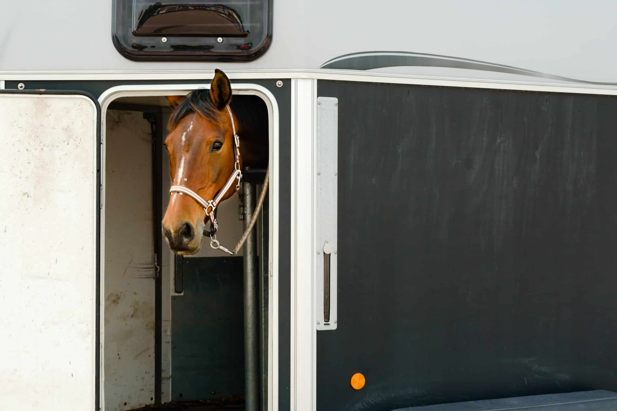 Lovely brown and white horse head sticking out of open door on a horse trailer. Copy space on trailer side. Horse has halter and is tied down with a small chain connected to it. One ear sticking out.