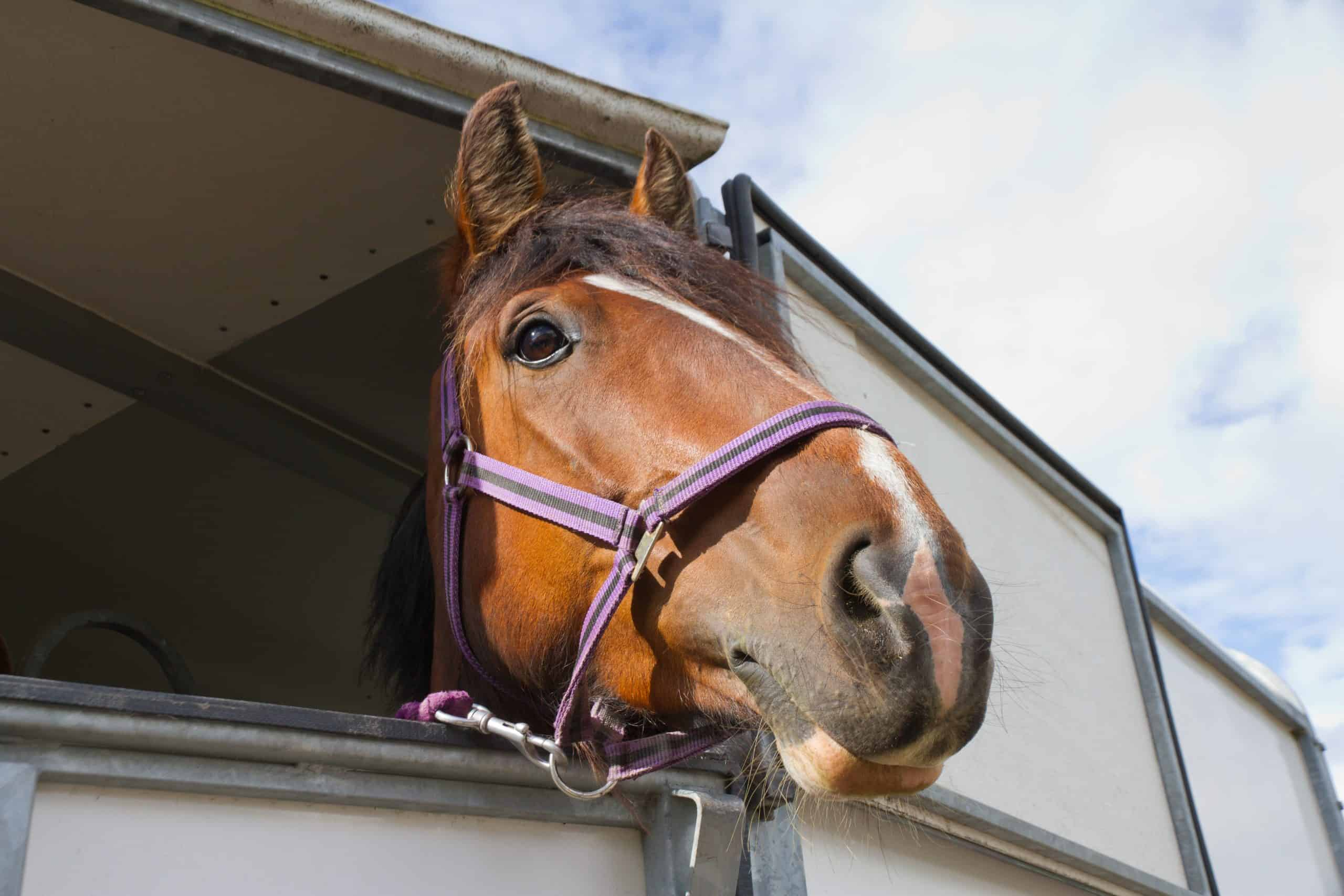 Close up of Bay horses head as it looks out from horse box which is transporting it to equine event.