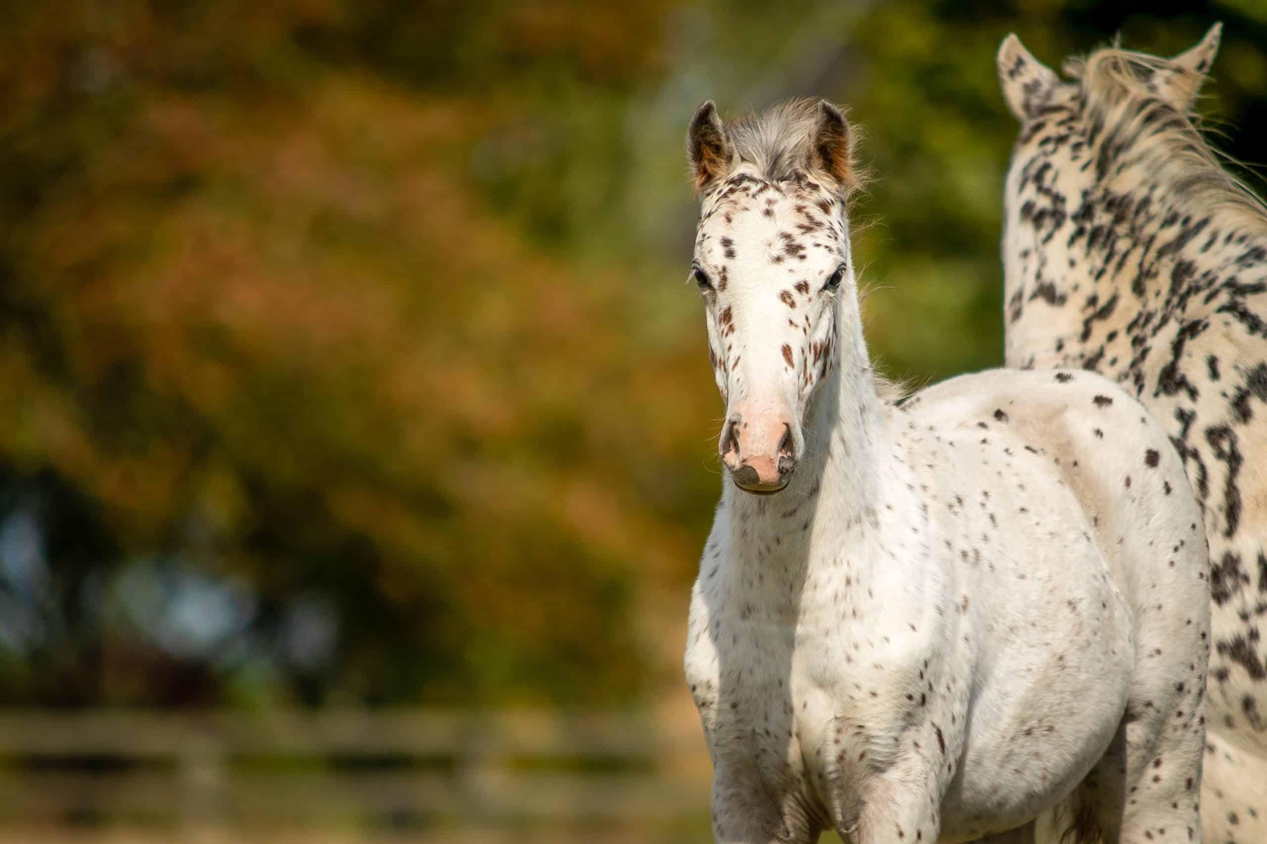 Knabstrupper Appaloosa Spotted Pony Foal in Grass Pasture