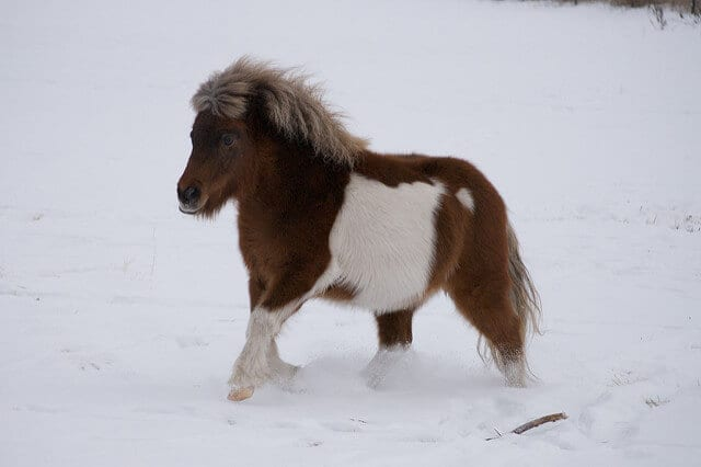 buying a mini horse