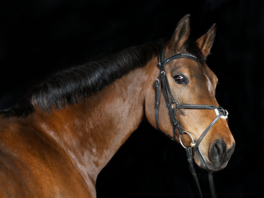 Studio portrait of a brown Oldenburg sport horse with black background