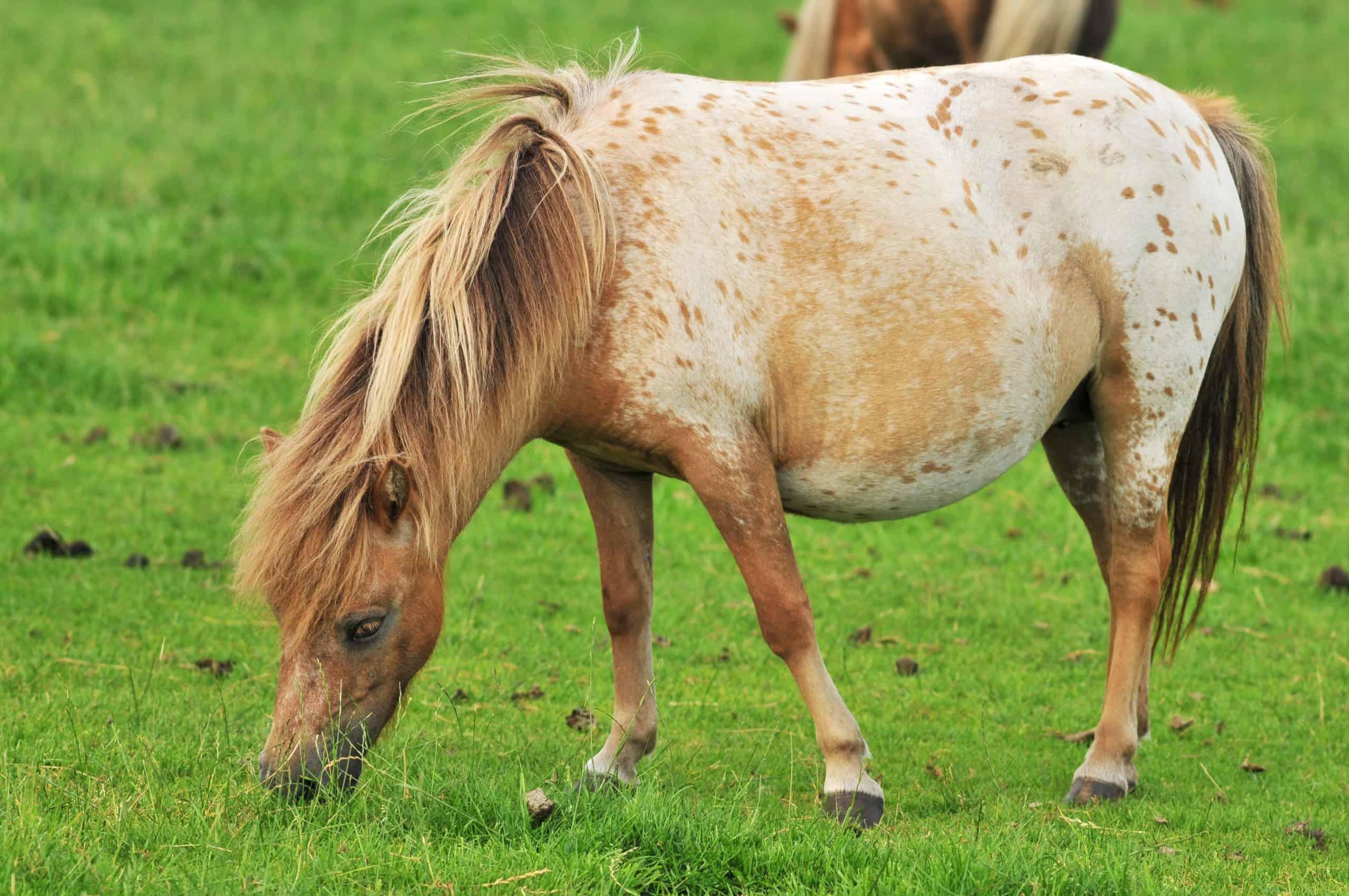 pregnant American mini horse in the grass