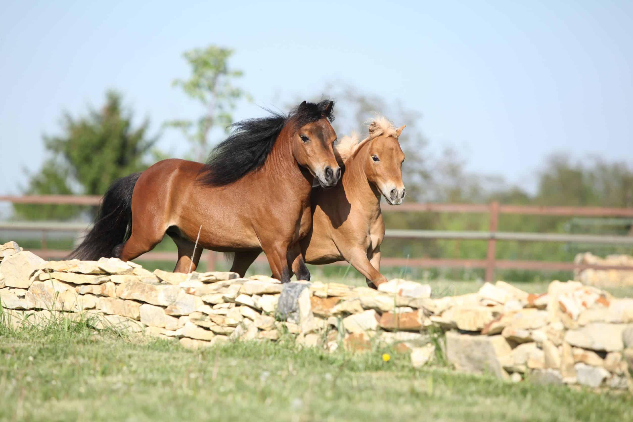Two american miniature horses running