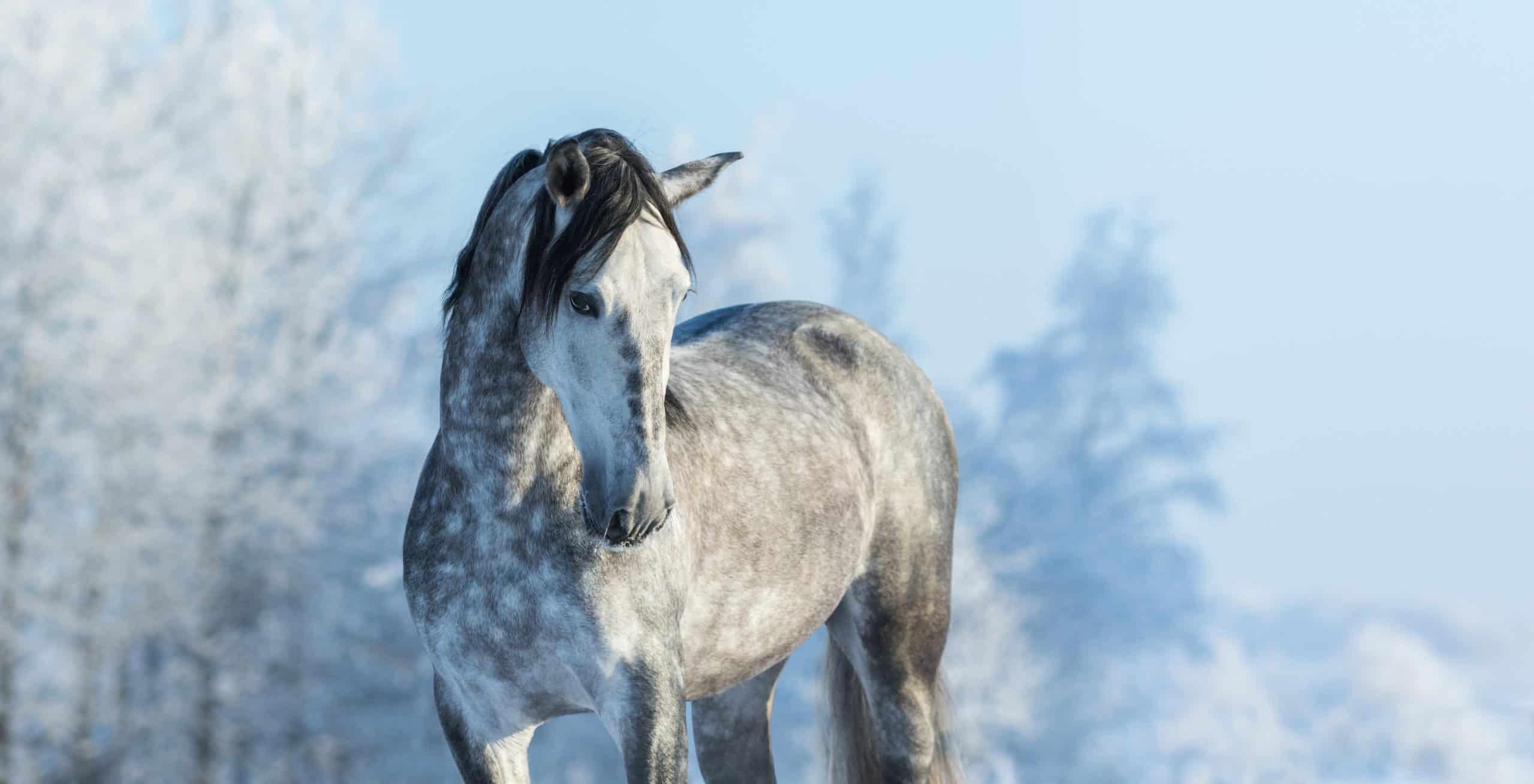 Andalusian thoroughbred gray horse in winter forest on a blue sky background. Multicolored wintertime horizontal outdoors image.