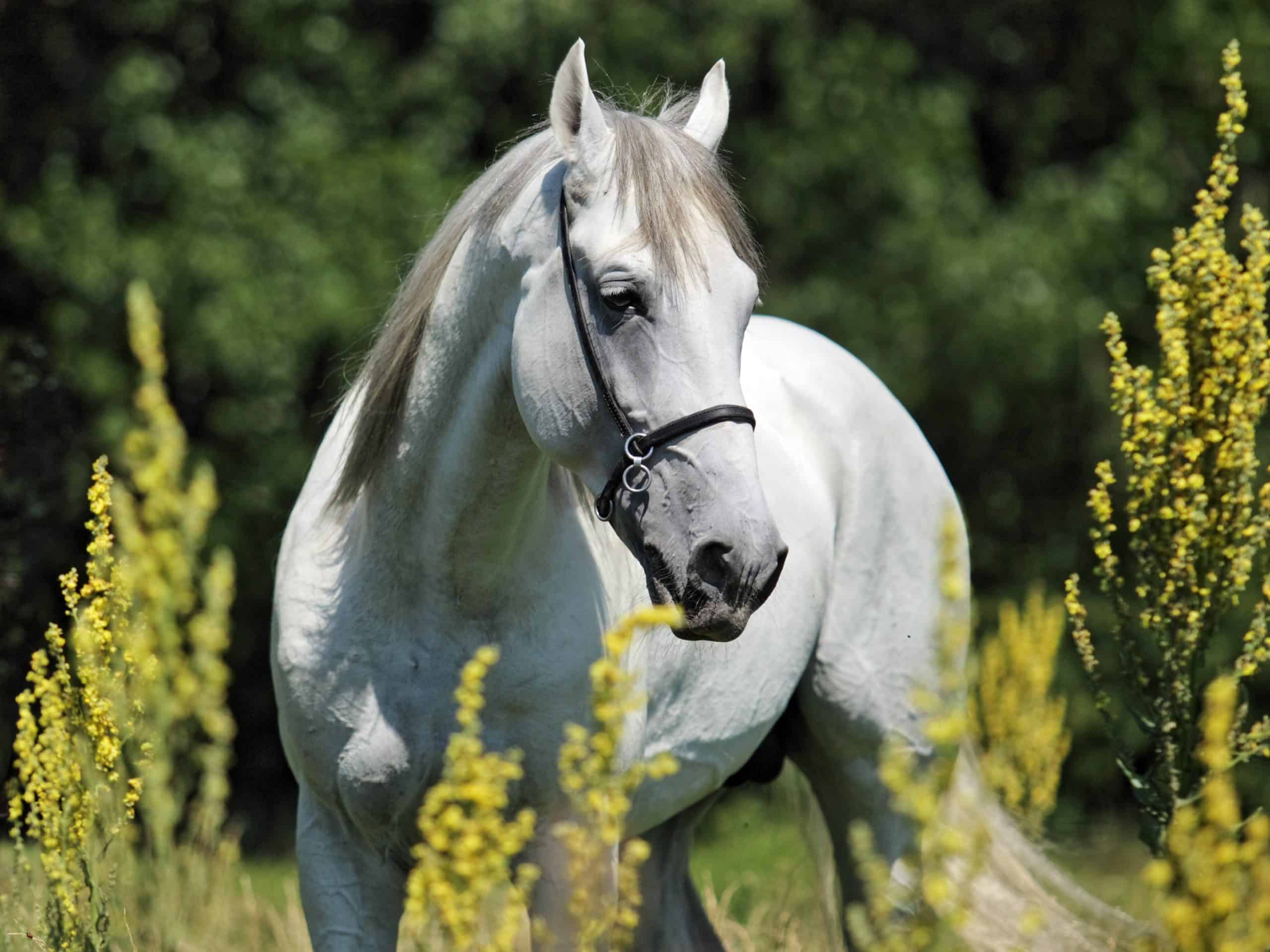 Andalusian horse portrait of white stallion in spring fields