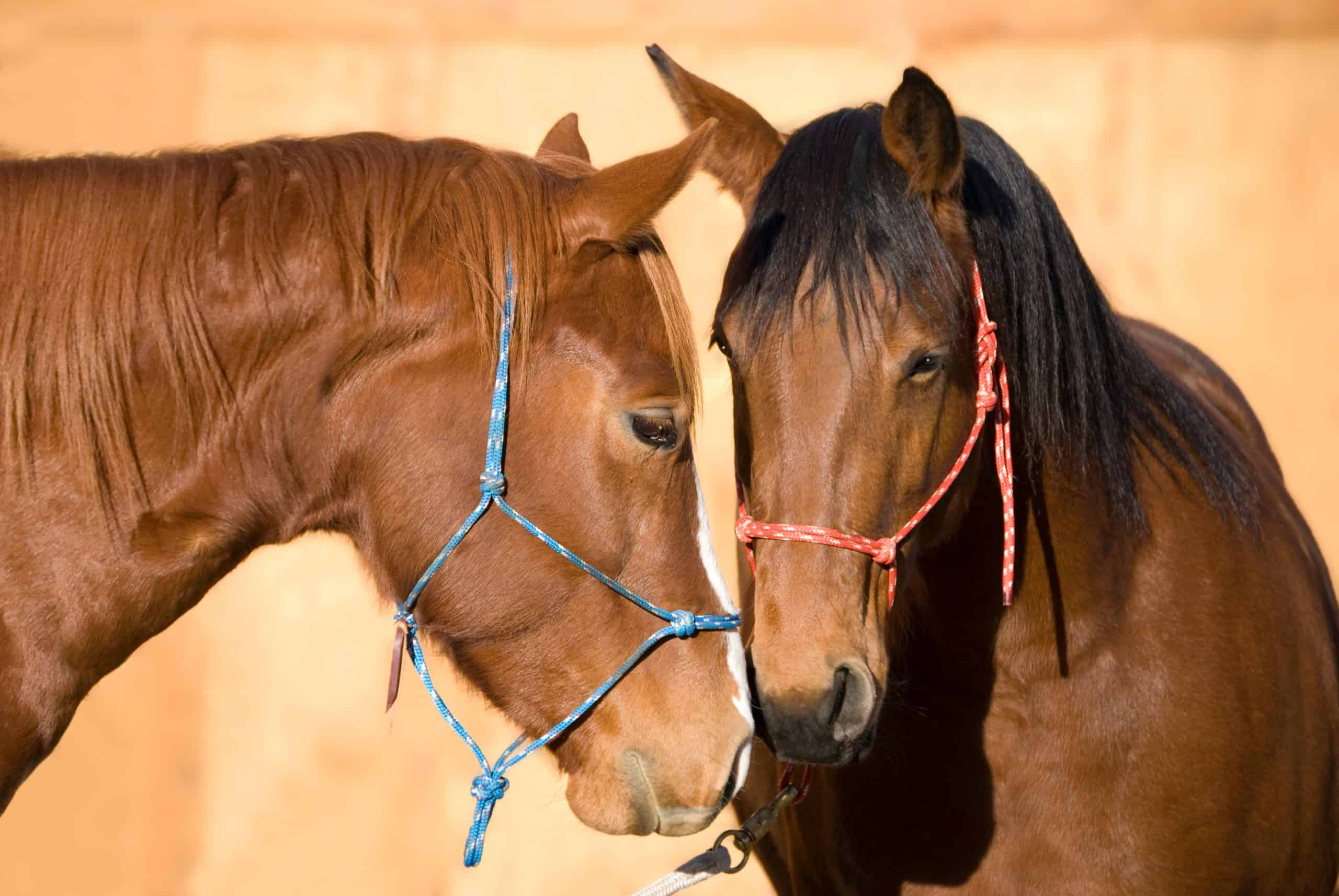 A sorrel (chestnut) horse and a bay horse greeting each other with interest and affection.