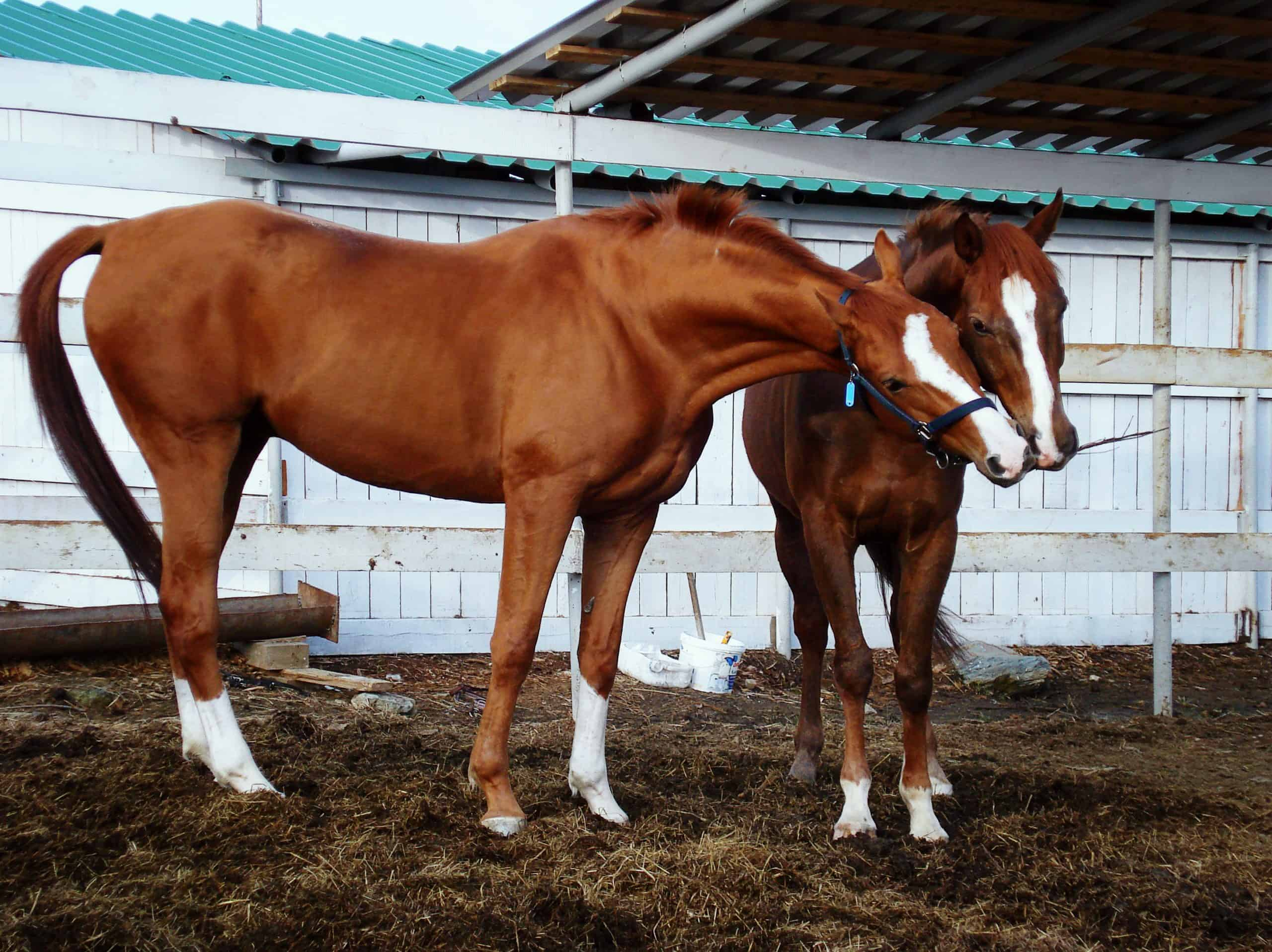 Two horses play in the paddock