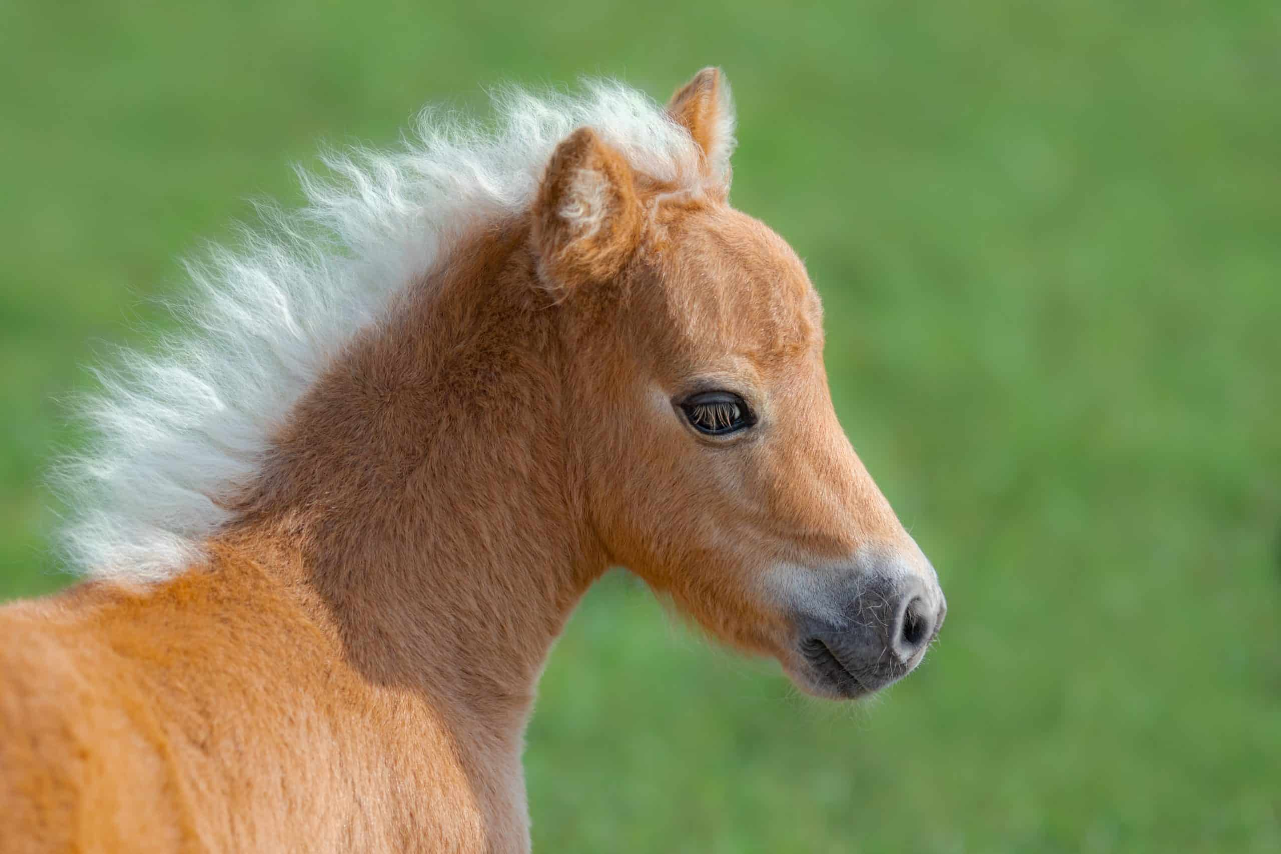 American Miniature Horse. Portrait close up of palomino foal on blurred green background.