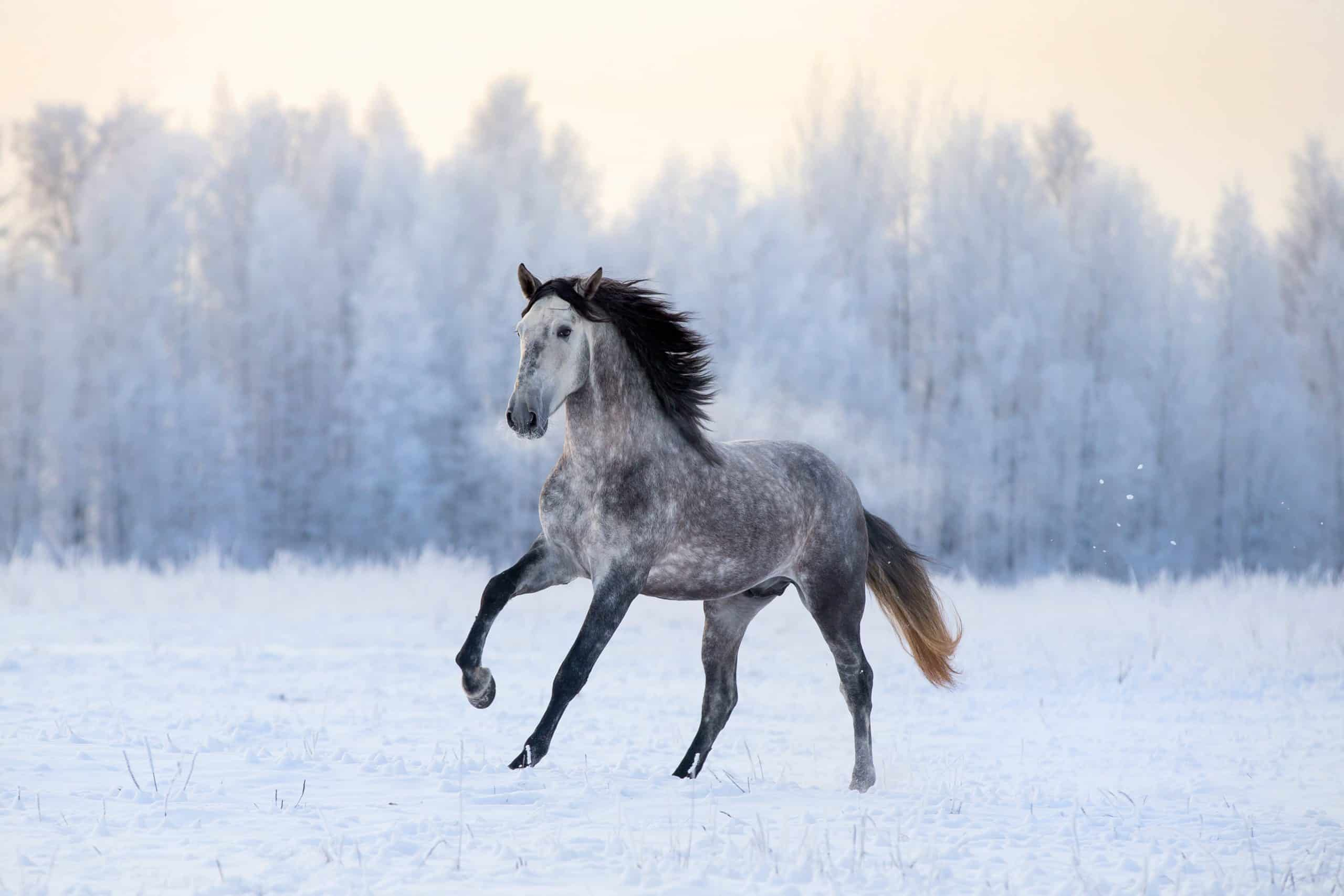 Andalusian horse on winter background