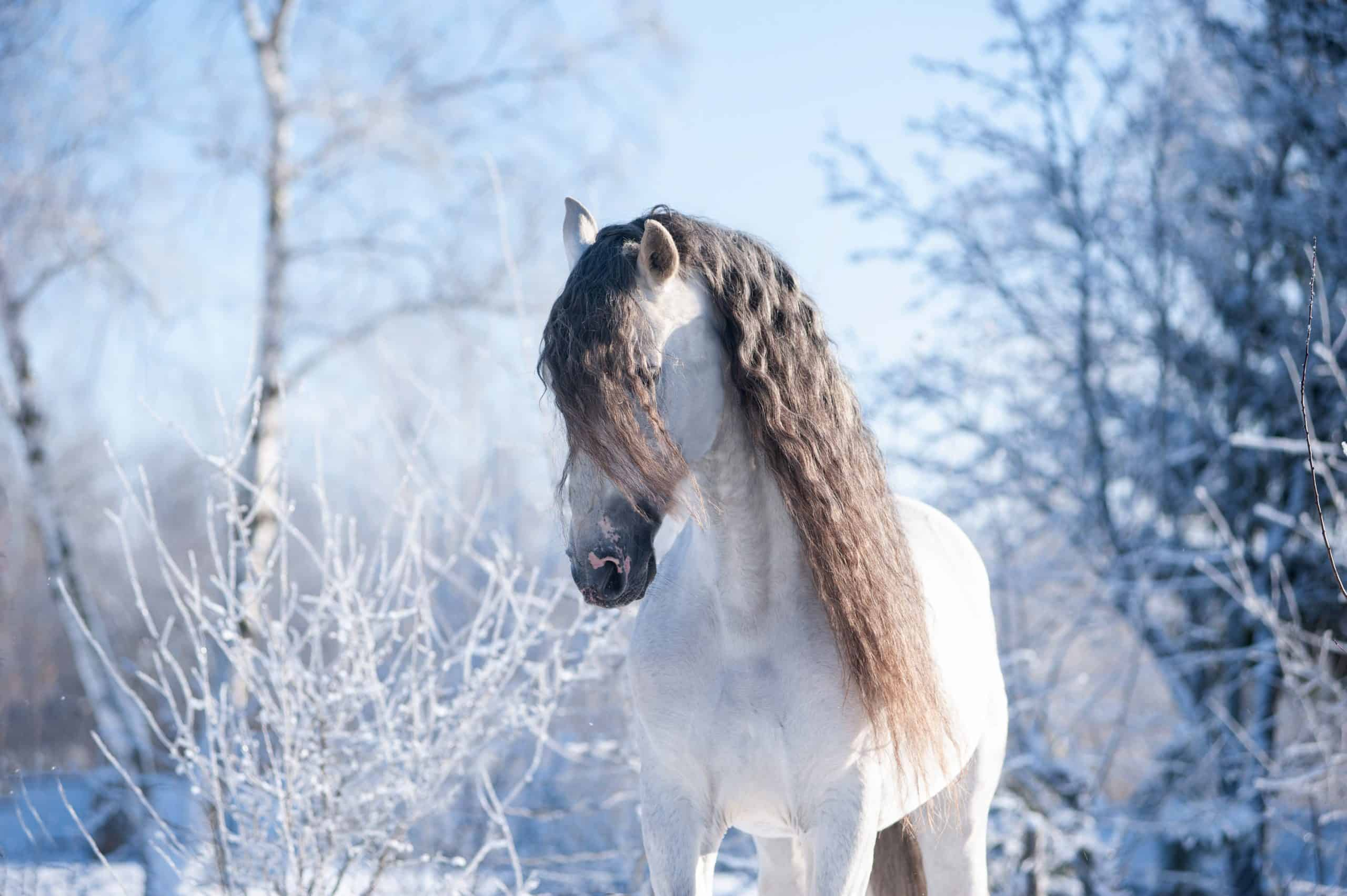 The Andalusian horse winter portrait