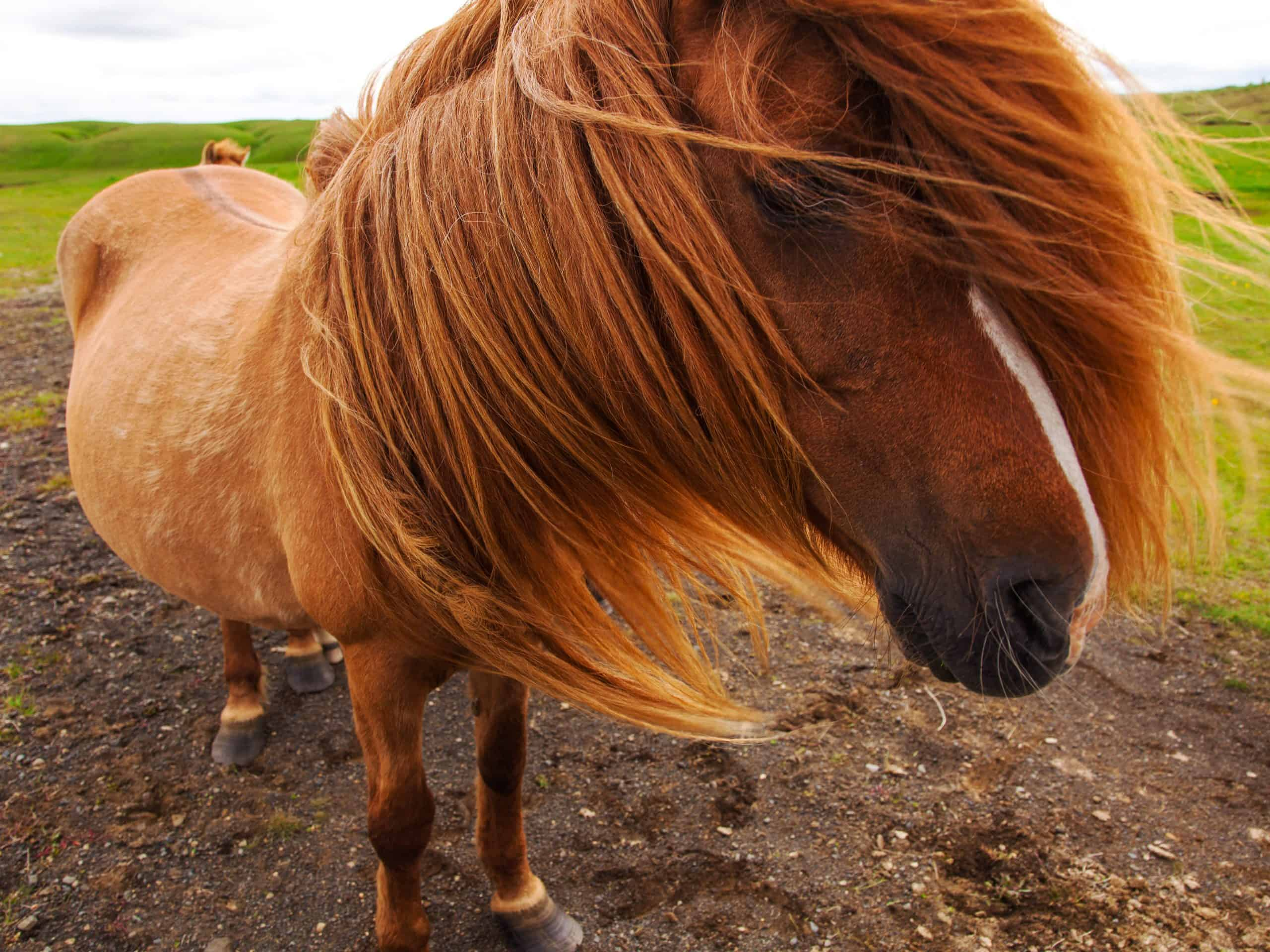Authentic Icelandic horse, beautiful friendly animal