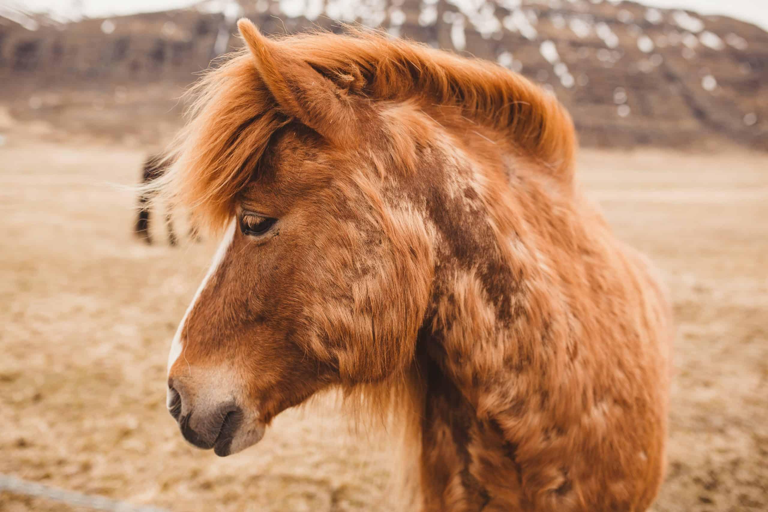 Fuzzy Icelandic Horse (1)