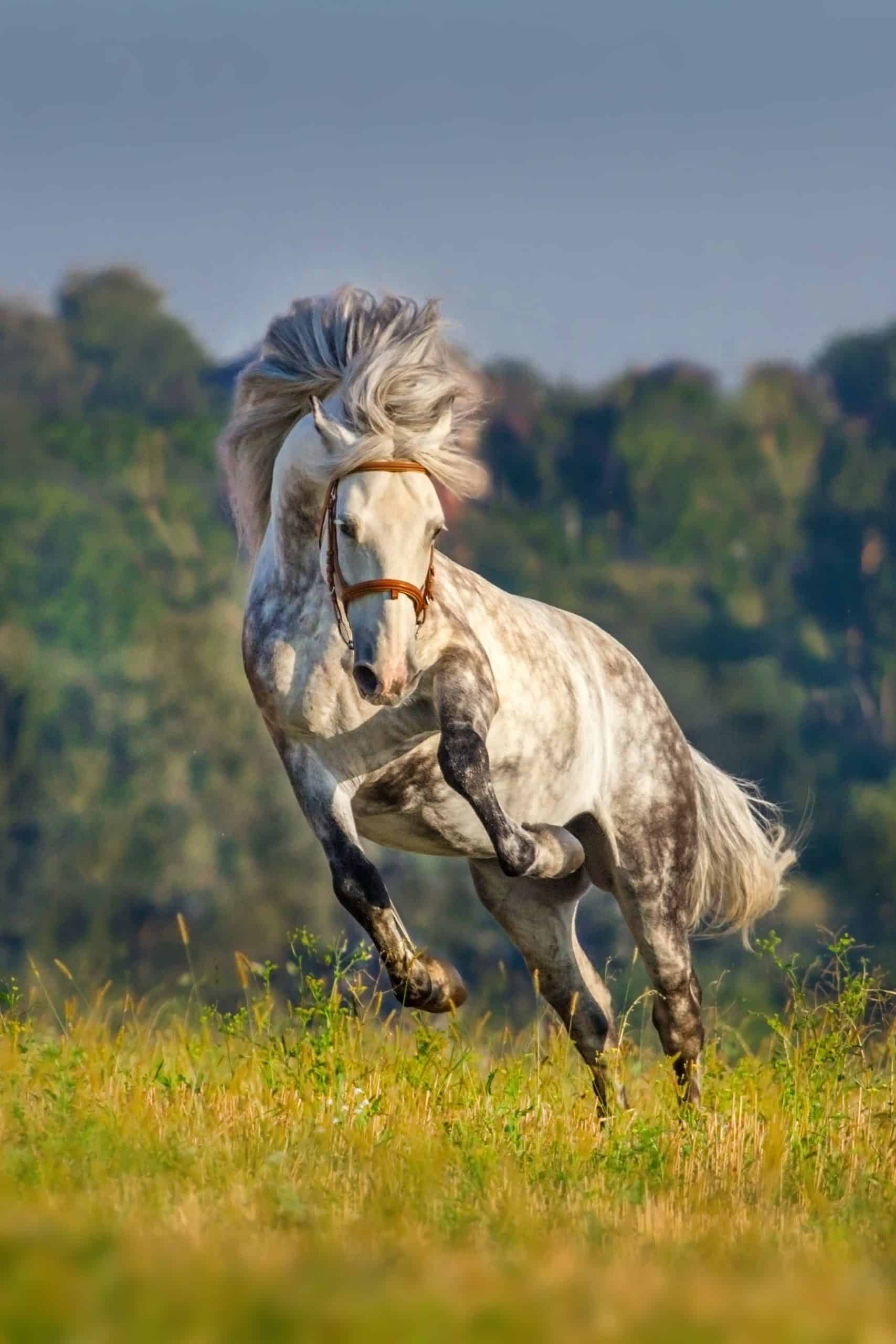 Grey horse with long mane run and fun at a morning light