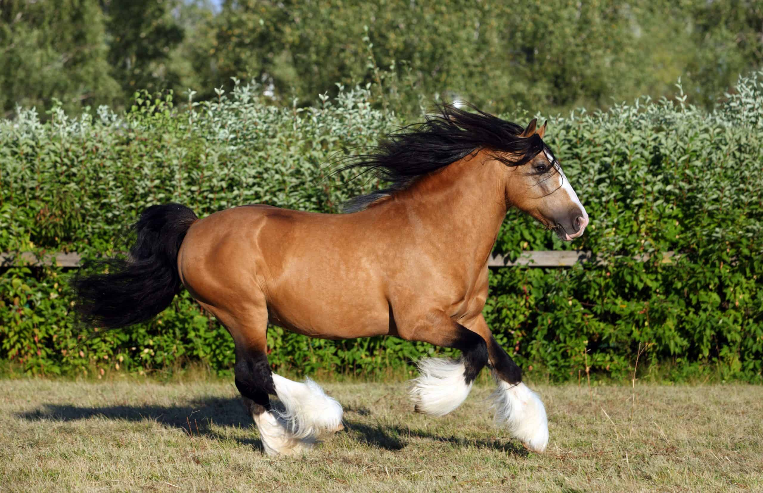 Gypsy Vanner Horse galloping in summer stud farm