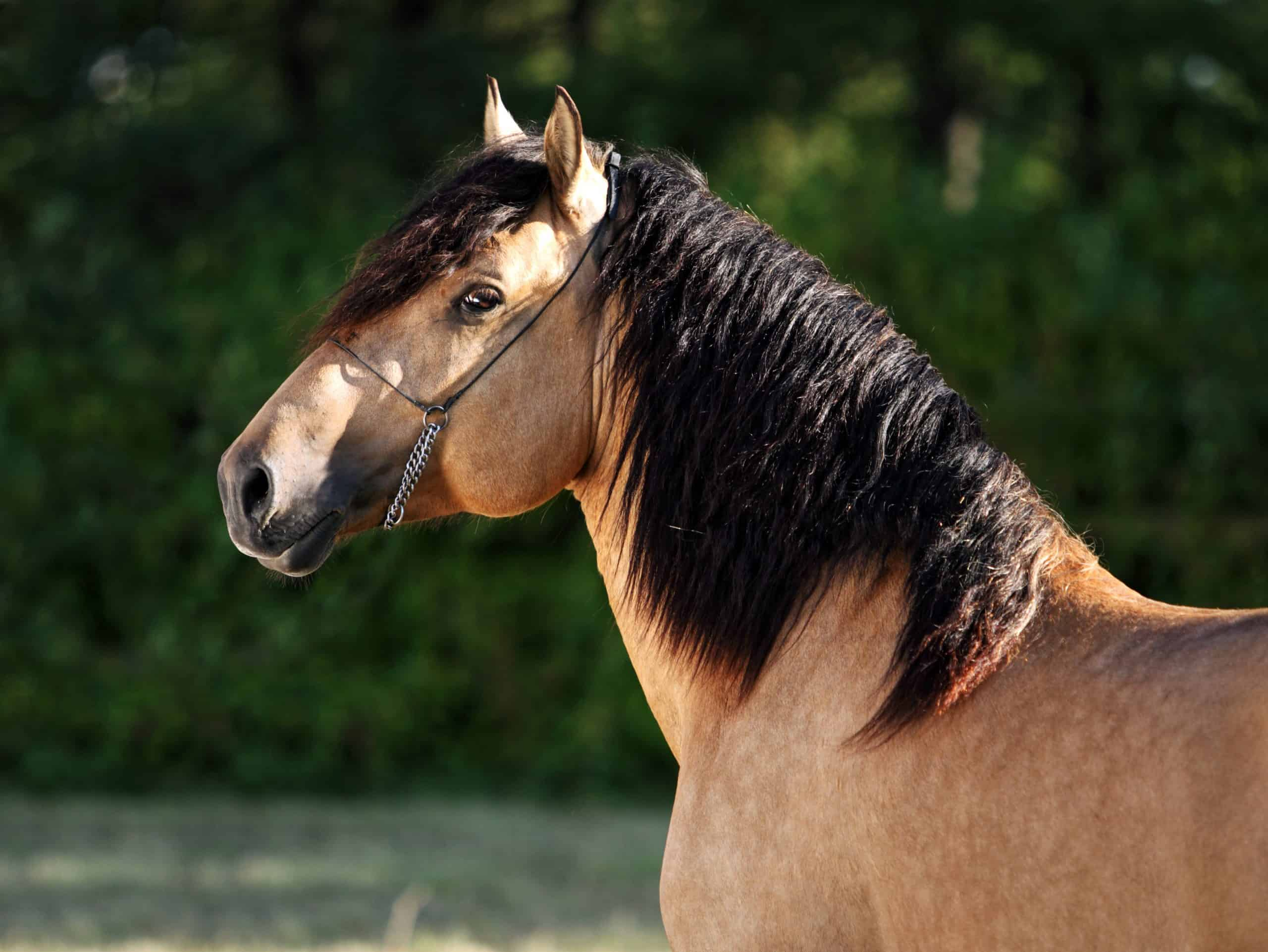Gypsy Vanner Horse stallion portrait in evening stud farm
