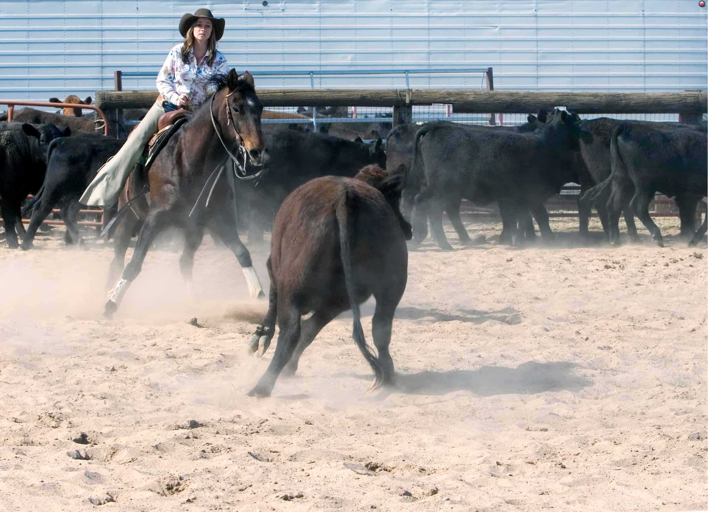 Photo of a Rodeo cow-girl, and her horse competing in the cattle cutting competition.