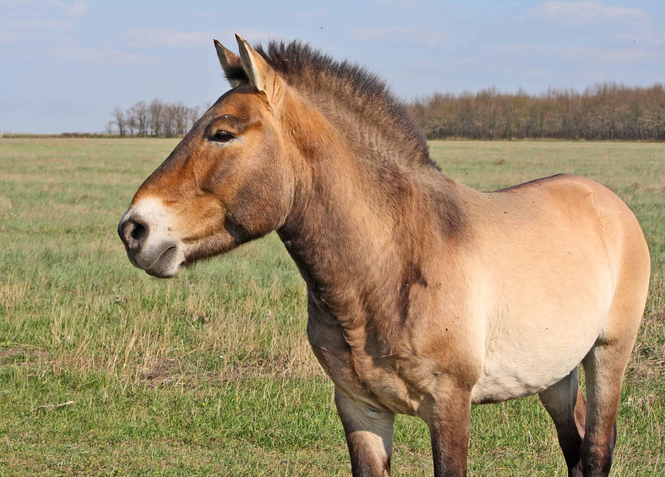 Przewalski's Horse (Equus ferus przewalskii), Takhi. Semi-wild stallion in Askania-Nova Reserve. Camera - Canon EOS 1000D, lens - EF-S 55-250 IS