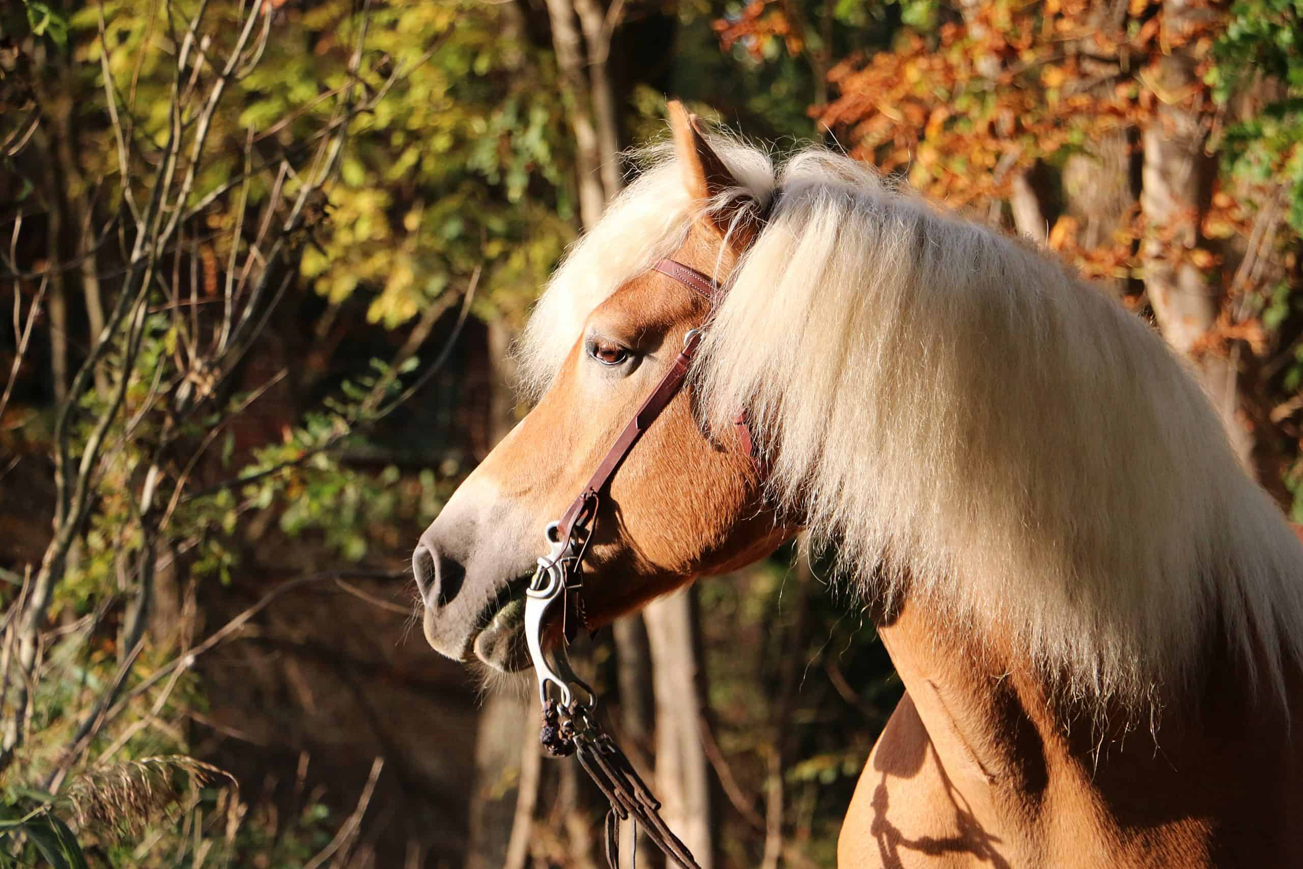 beautiful haflinger horse portrait in the autumn forest