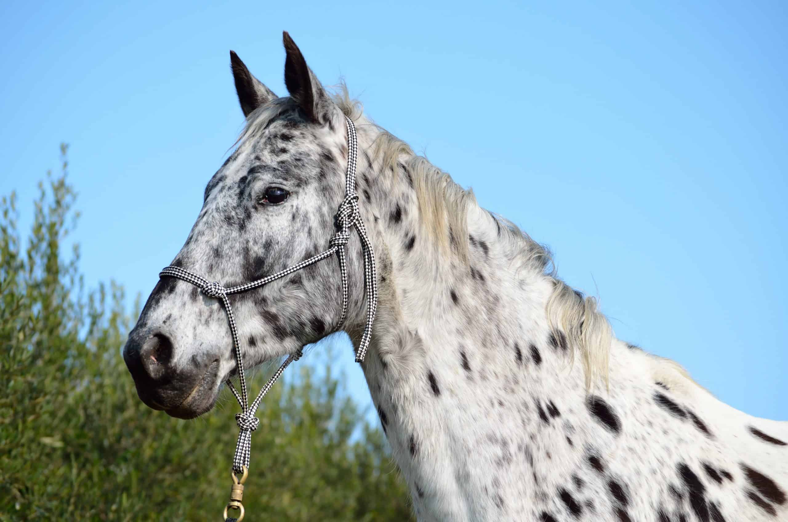 A spotted horse with a rope halter on