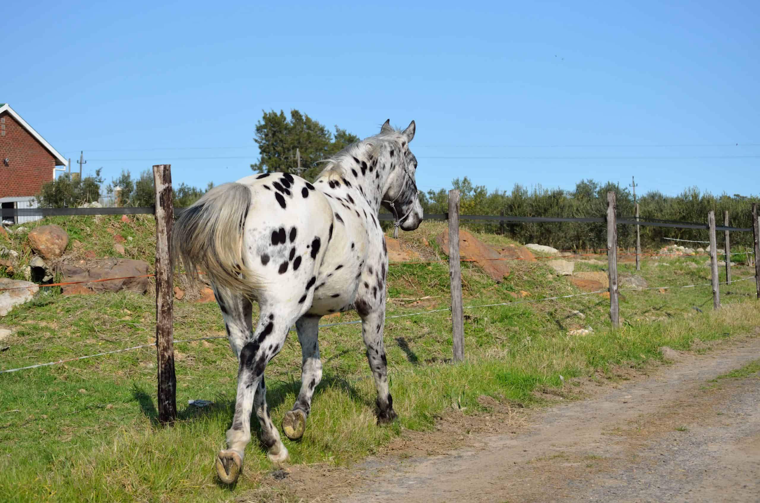 A appaloosa horse going along a farm road