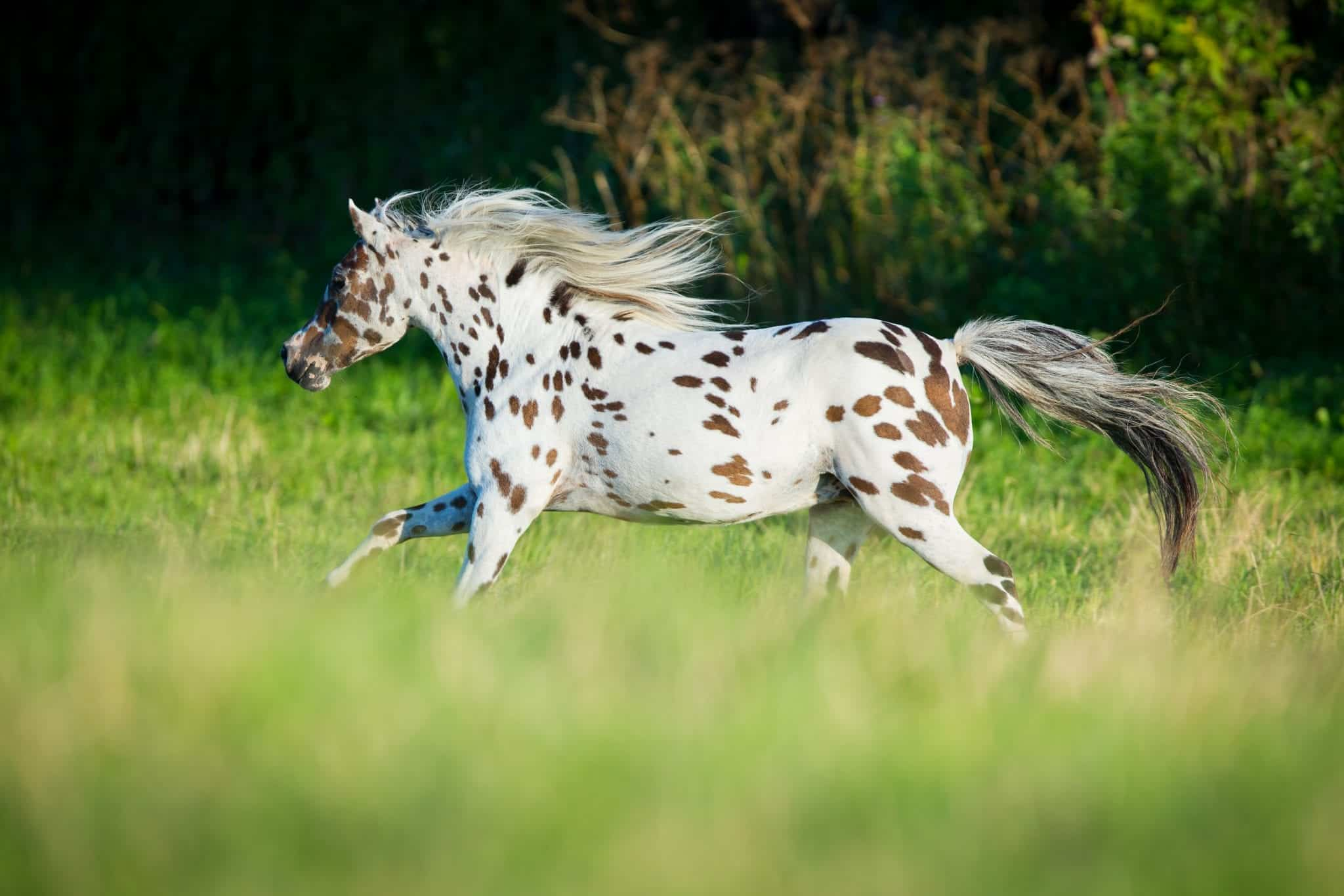 Appaloosa horse running in field in summer