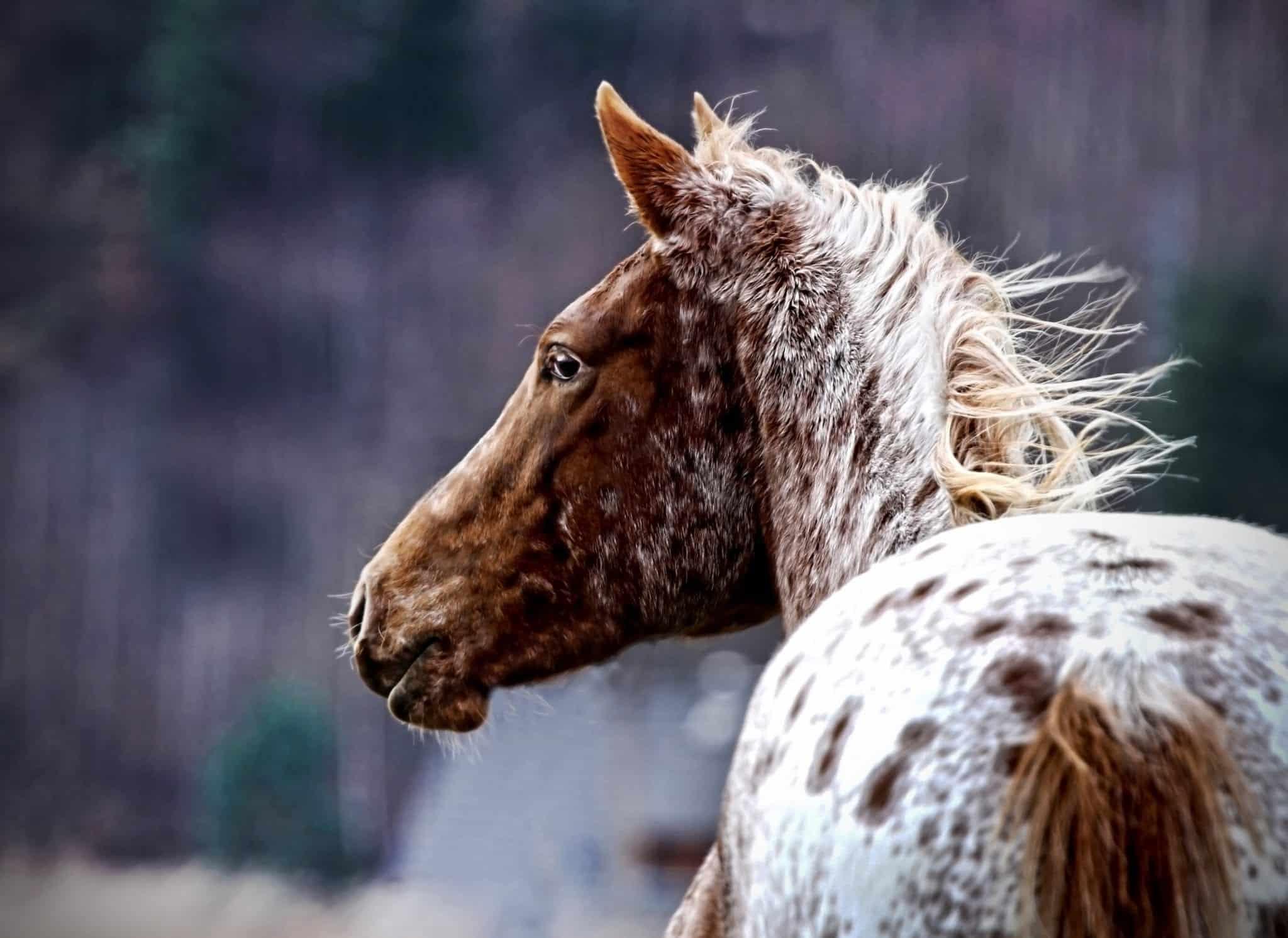 Portrait of a appaloosa horse foal in the wild