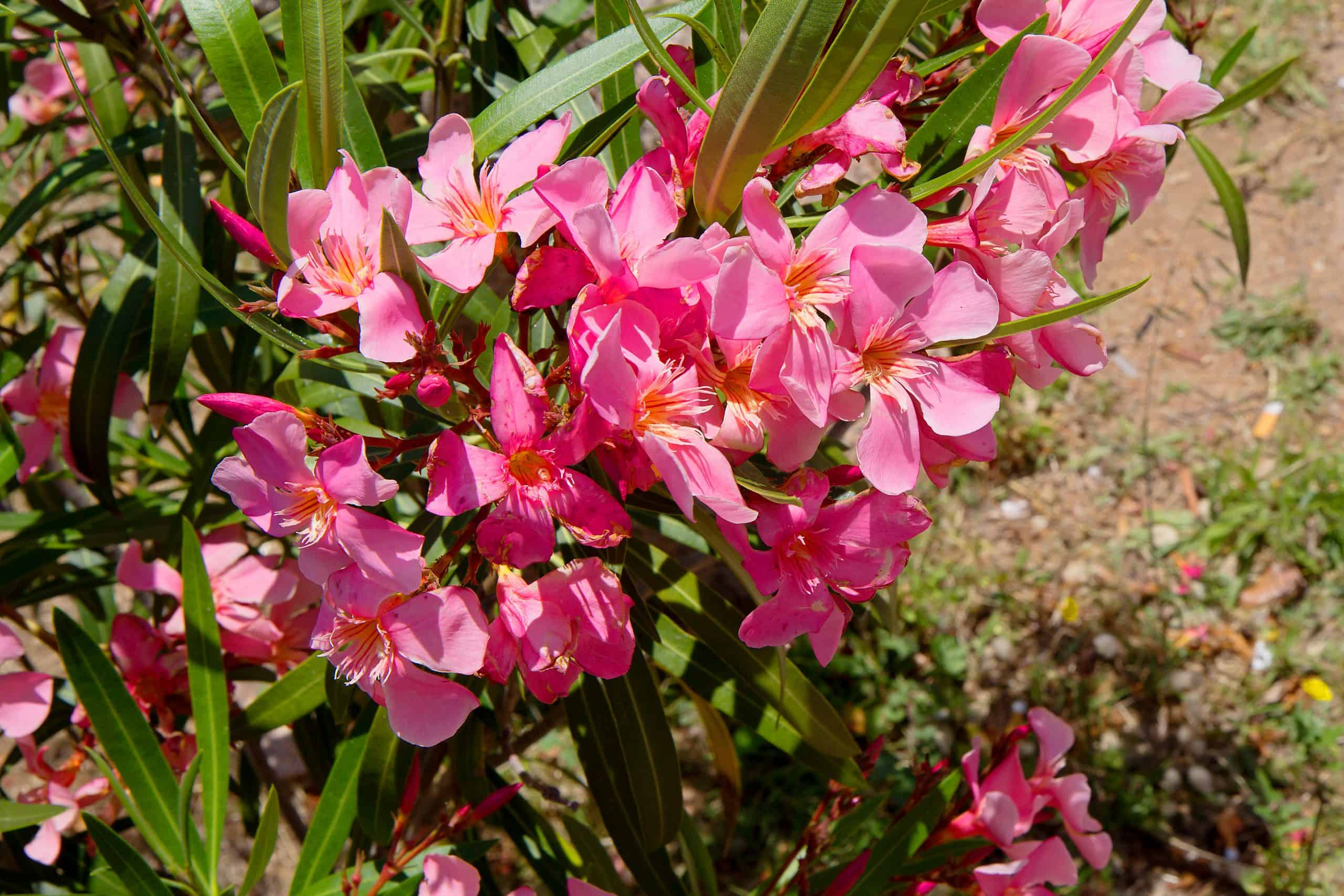 Oleander - flowering shrub, widely distributed in subtropical regions of the world.