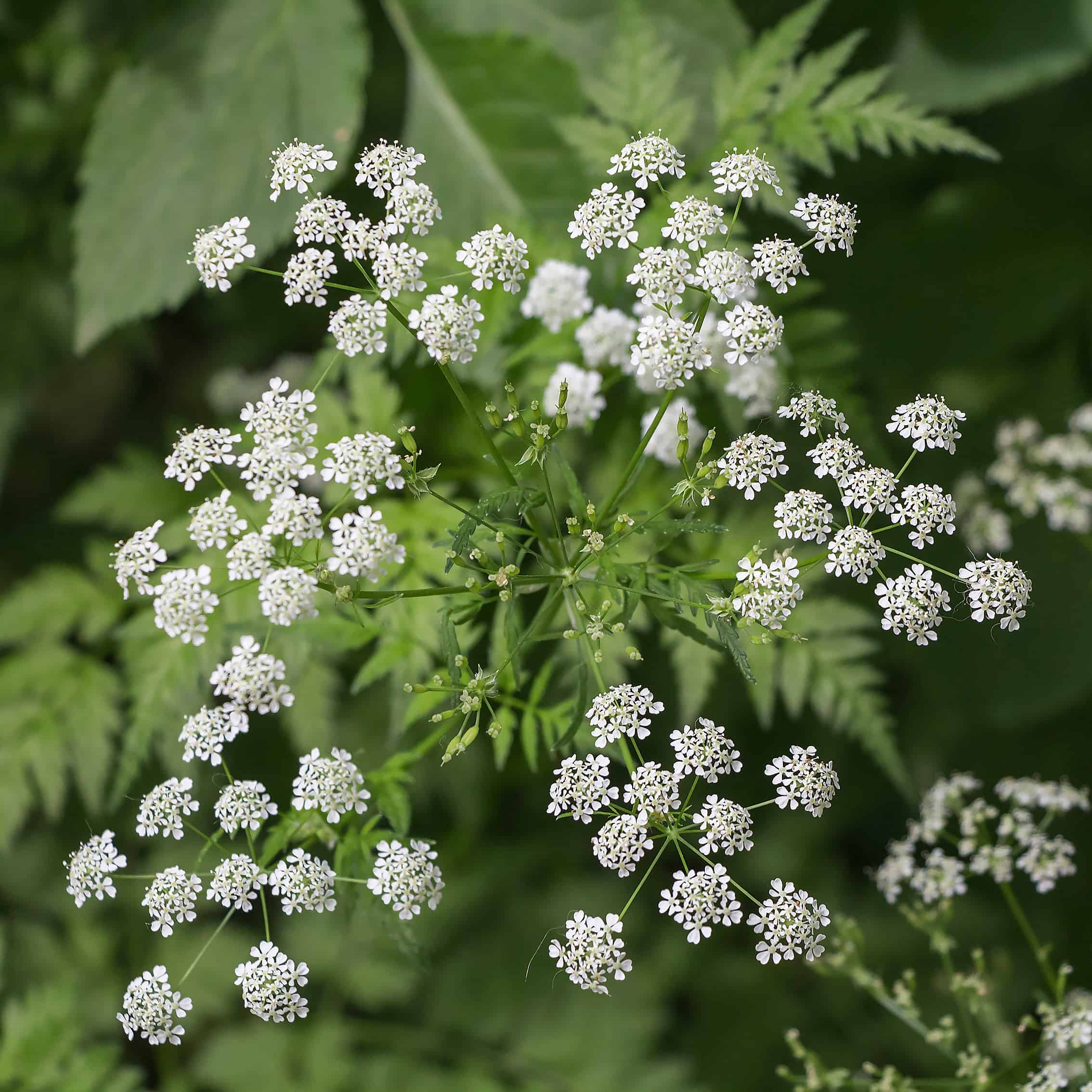 Inflorescence of a herb of Hemlock or Poison Hemlock (Conium maculatum) close up