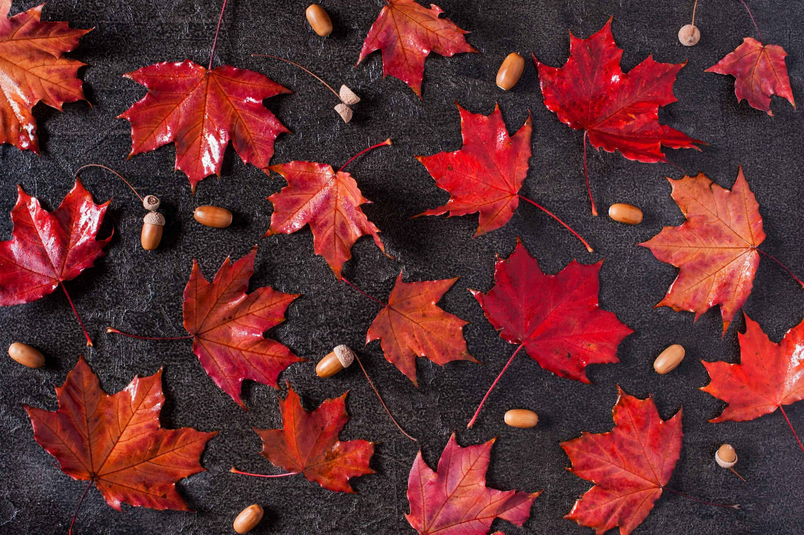 Pattern of red bright maple leaves and acorns on the black textured background, flat lay