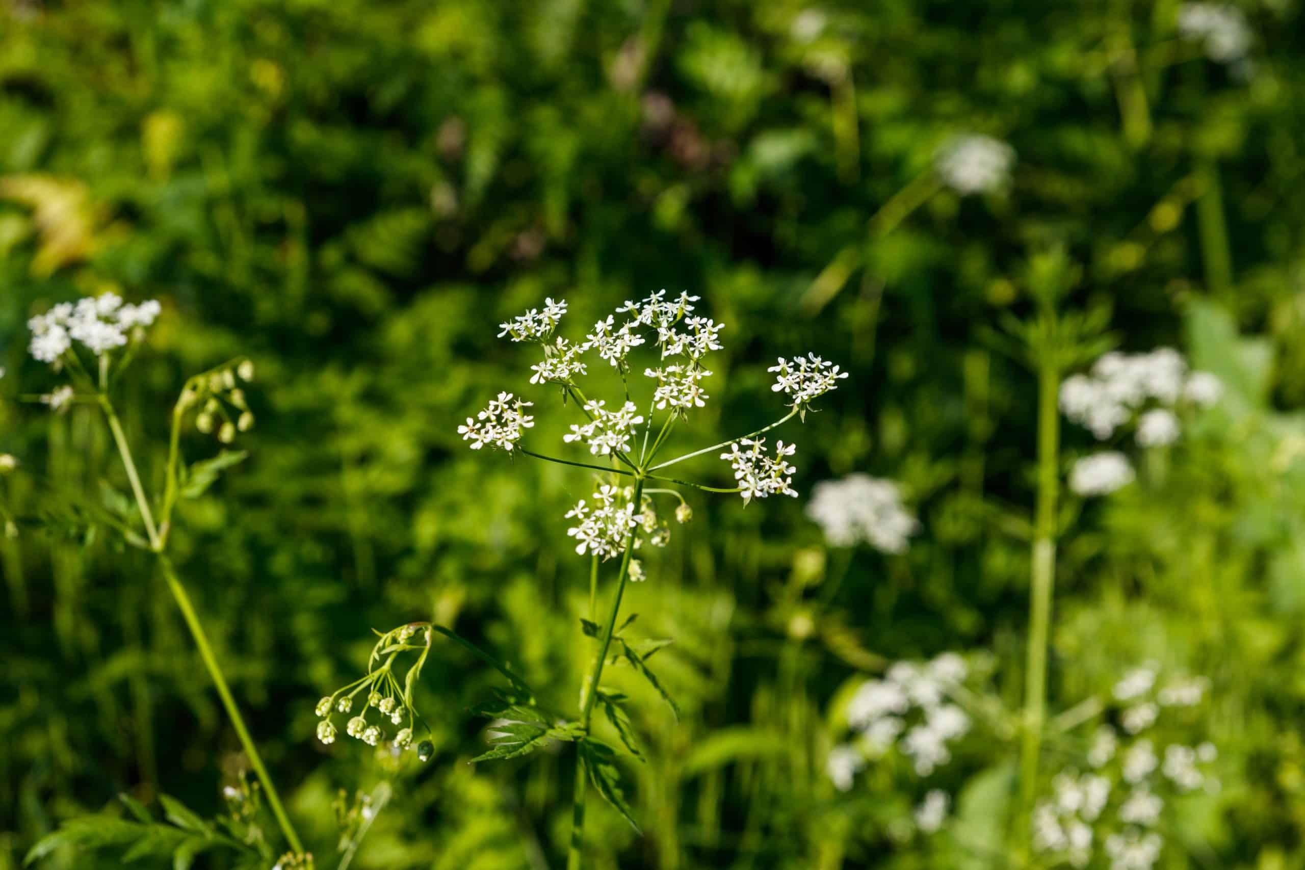 Water hemlock (Conium maculatum) flowers