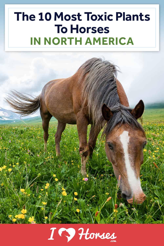 toxic plants to horses