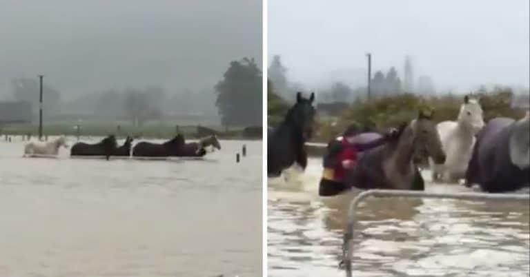 horses in flood