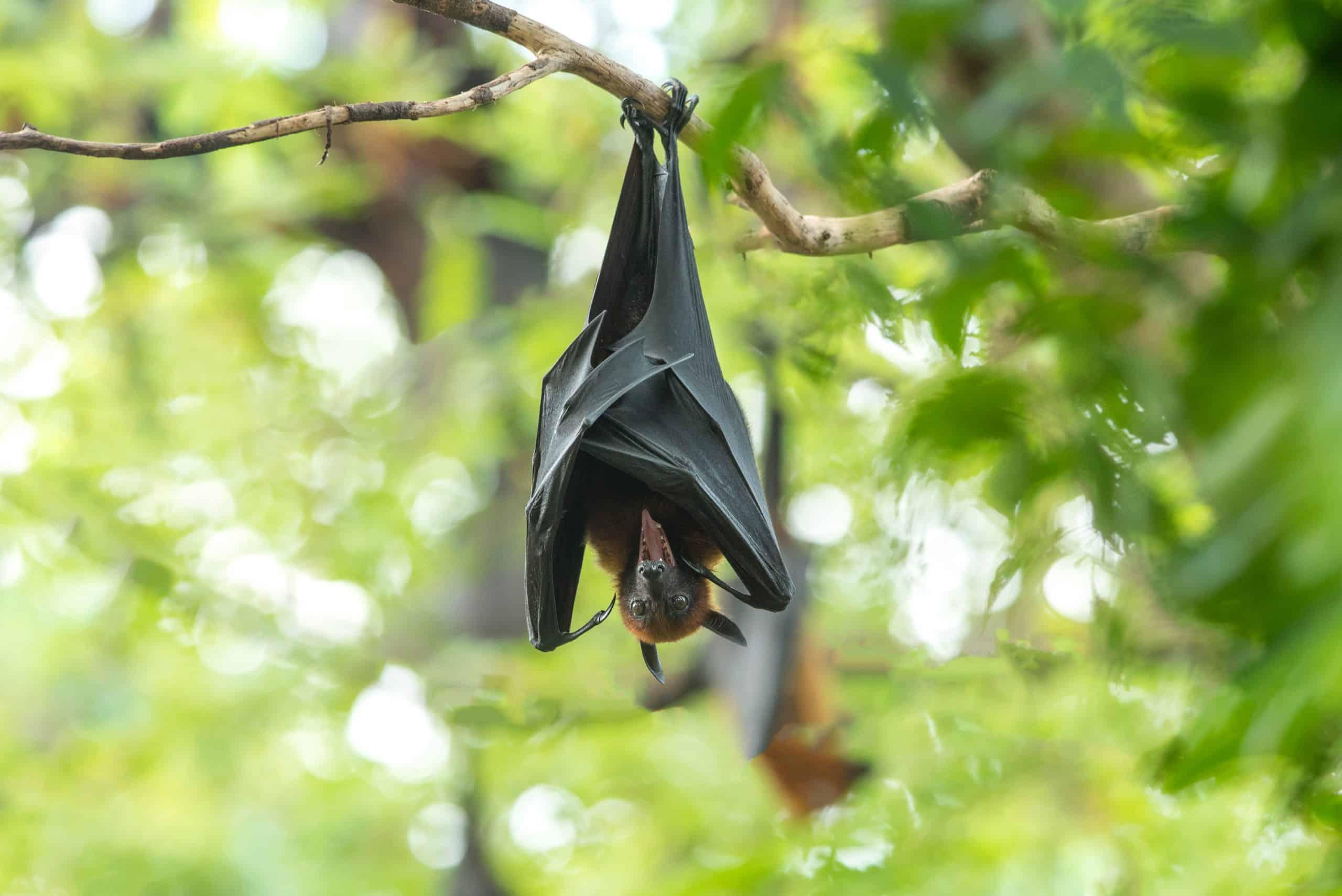 bat rabies horse diseases